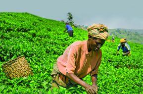 plantacja herbaty Rwanda