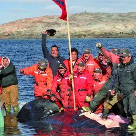 polowanie na wieloryba, Kanada