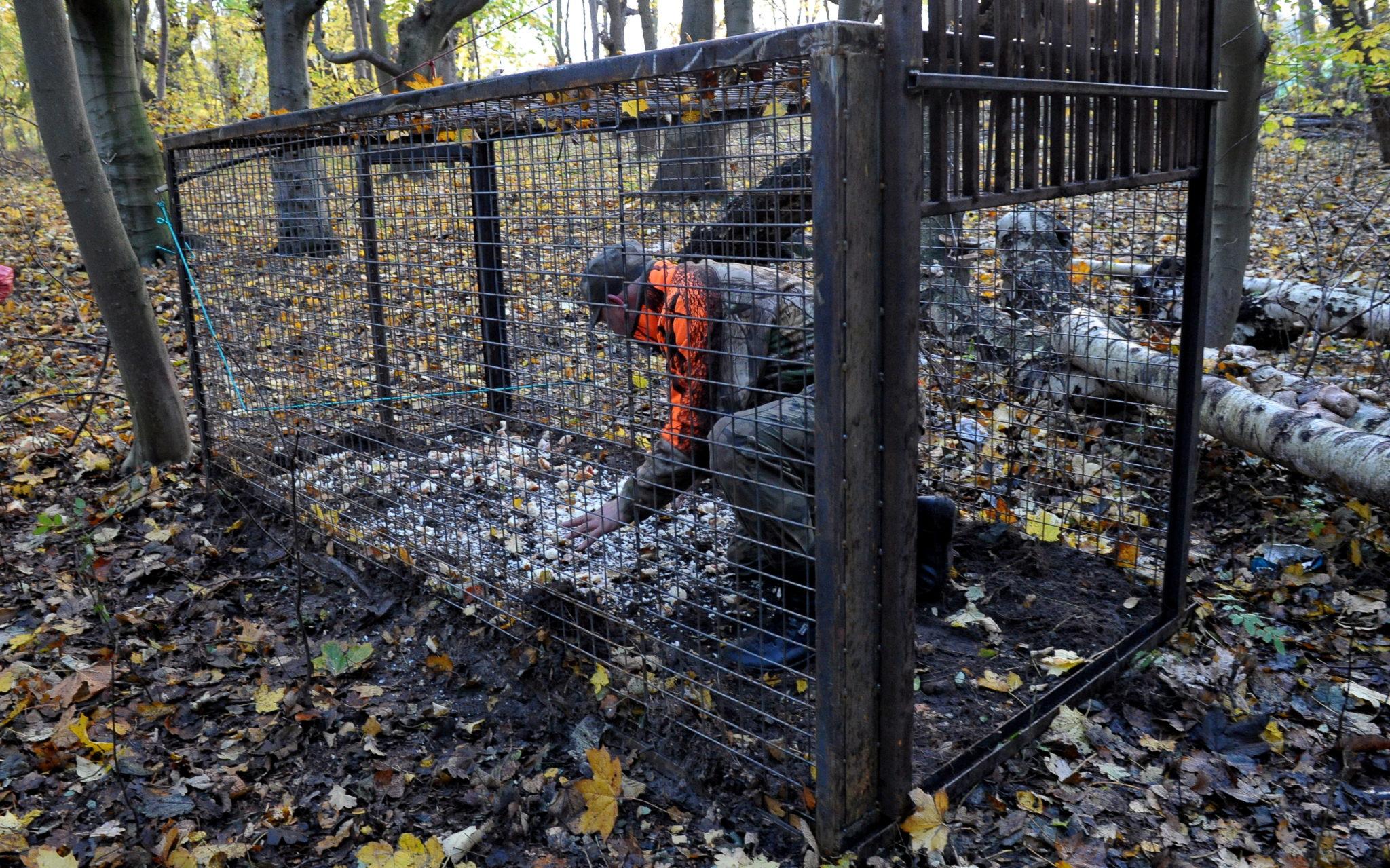 Świnoujście: akcja odławiania dzików (foto. PAP/Marcin Bielecki)