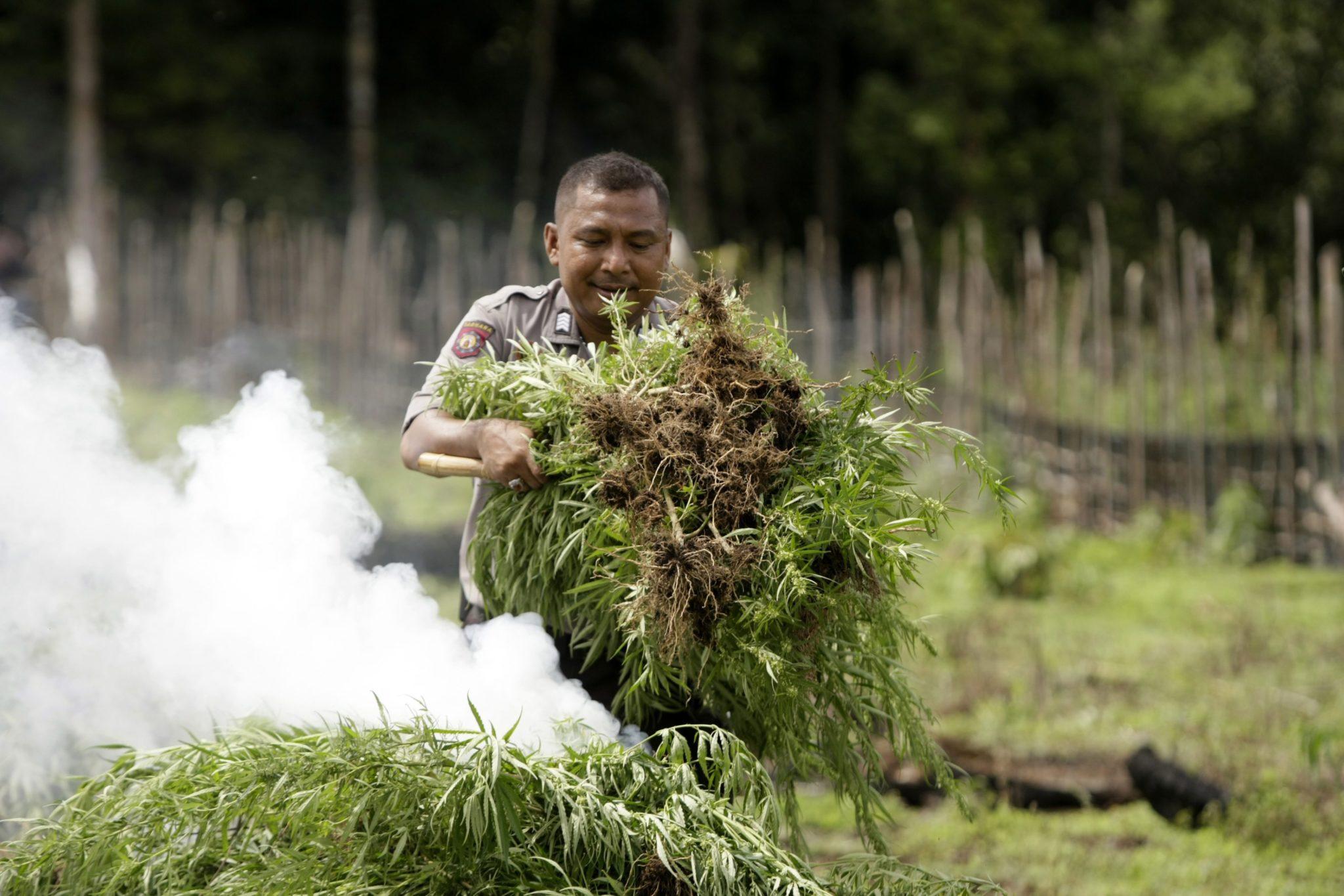 Policjant palący nielegalne plantacje marihuany w Indonezji. Fot. EPA/HOTLI SIMANJUNTAK