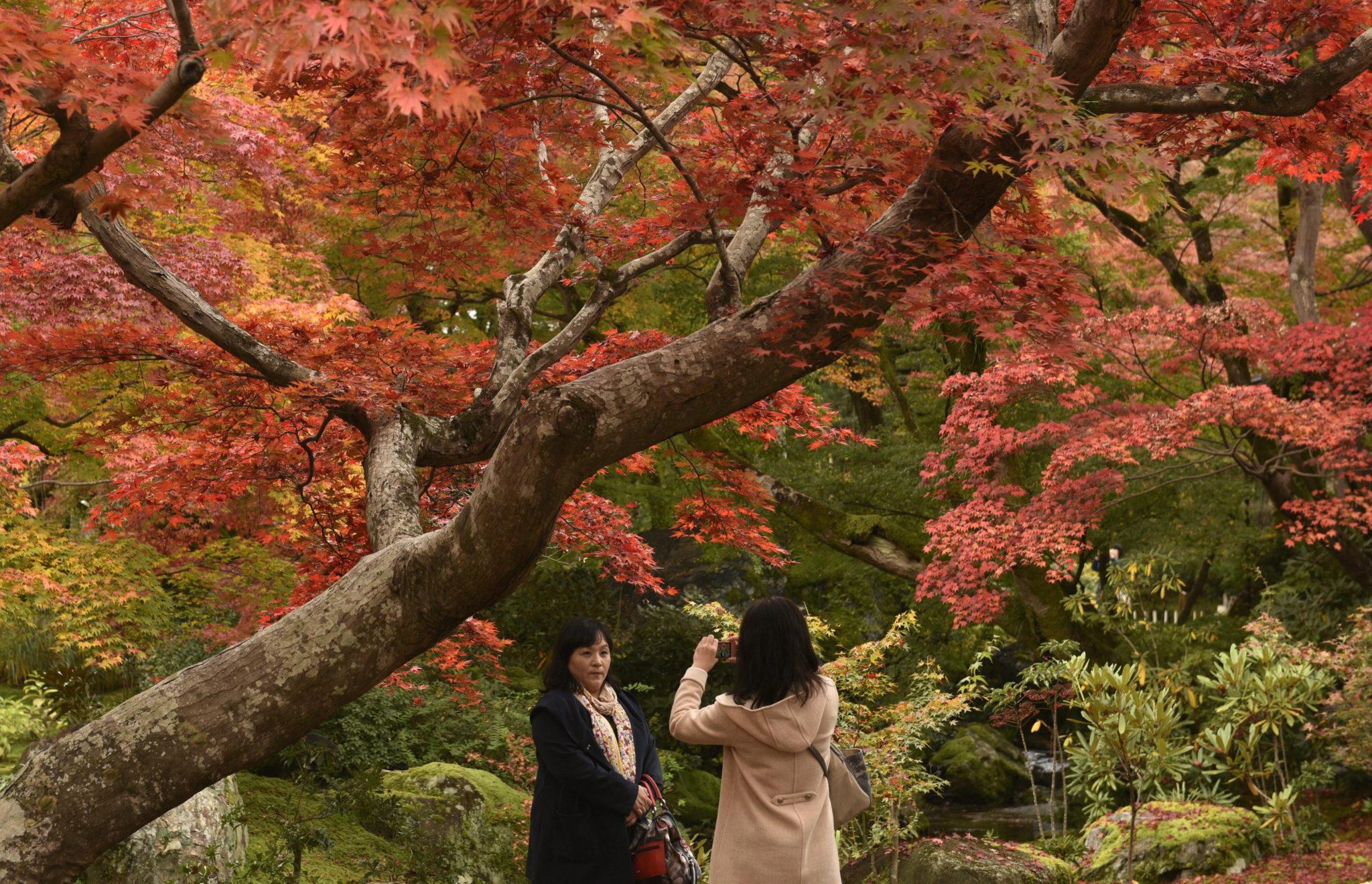 Japonia: spadające liście klonu japońskiego w Kioto (foto. PAP/EPA/FRANCK ROBICHON)