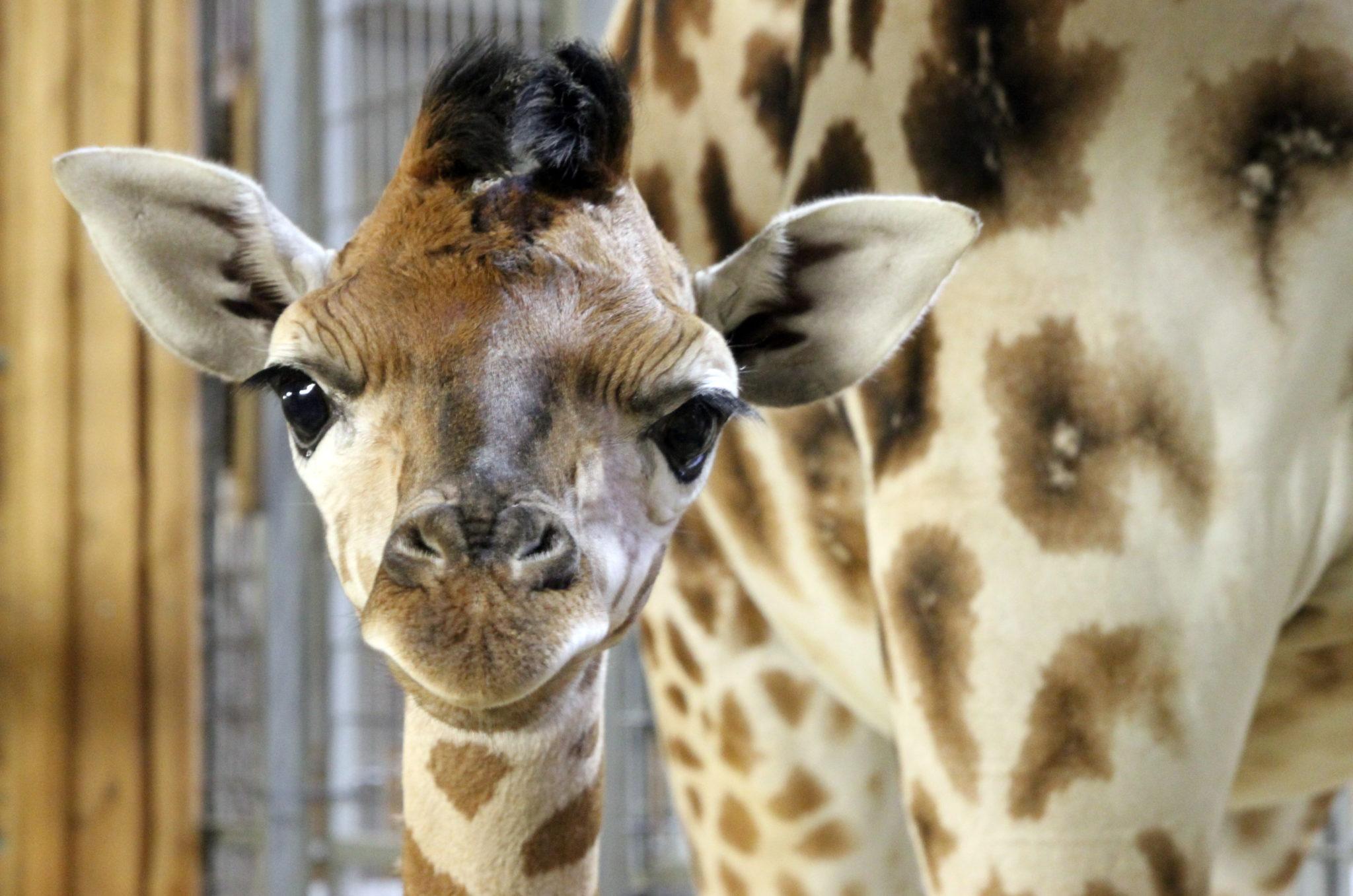 Polska: mała żyrafa w opolskim zoo (foto. PAP/PAP/Krzysztof Świderski)
