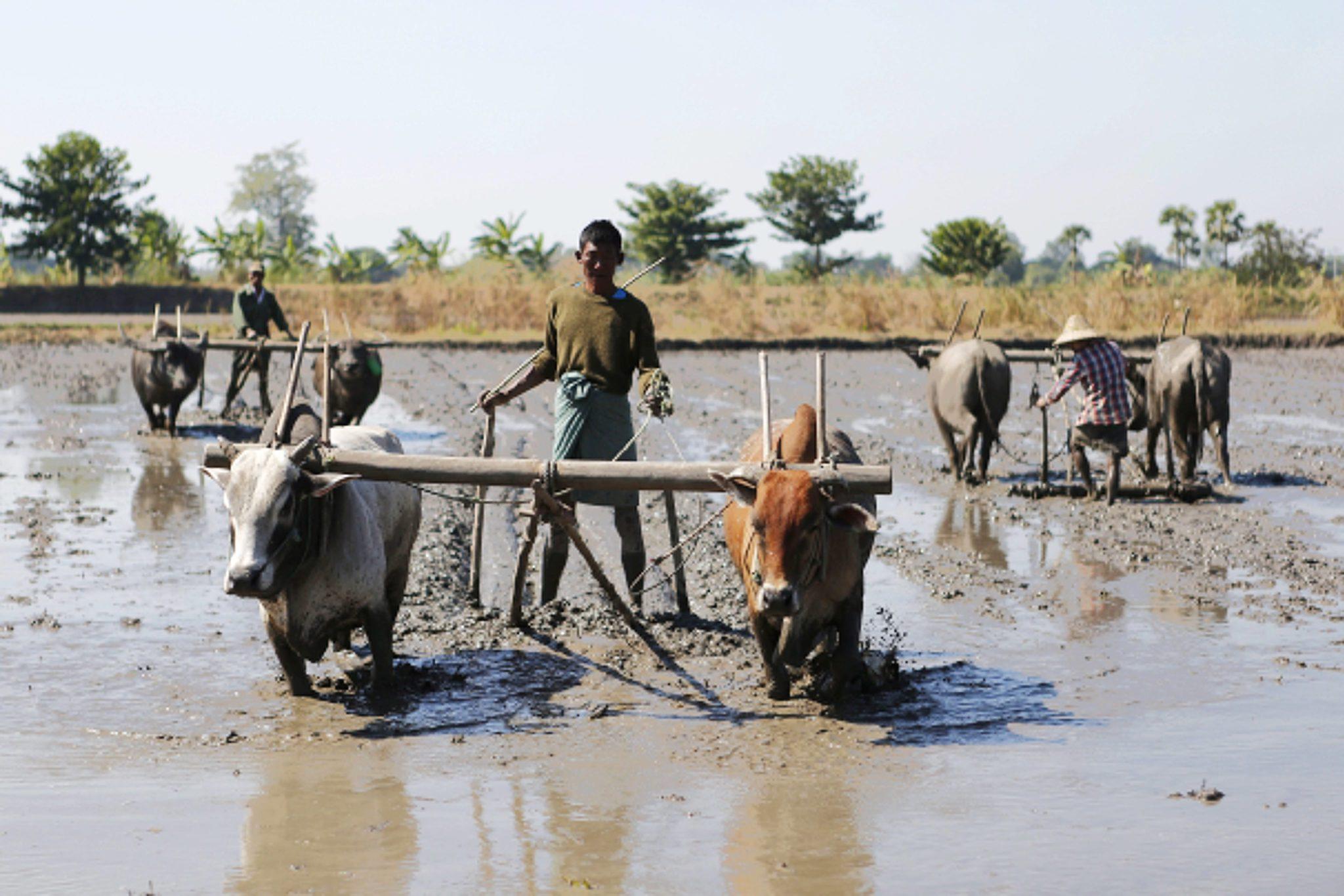 epa05721114 Farmers plough the land with bulls in Naypyitaw, Myanmar, 16 January 2017.  EPA/HEIN HTET Dostawca: PAP/EPA.