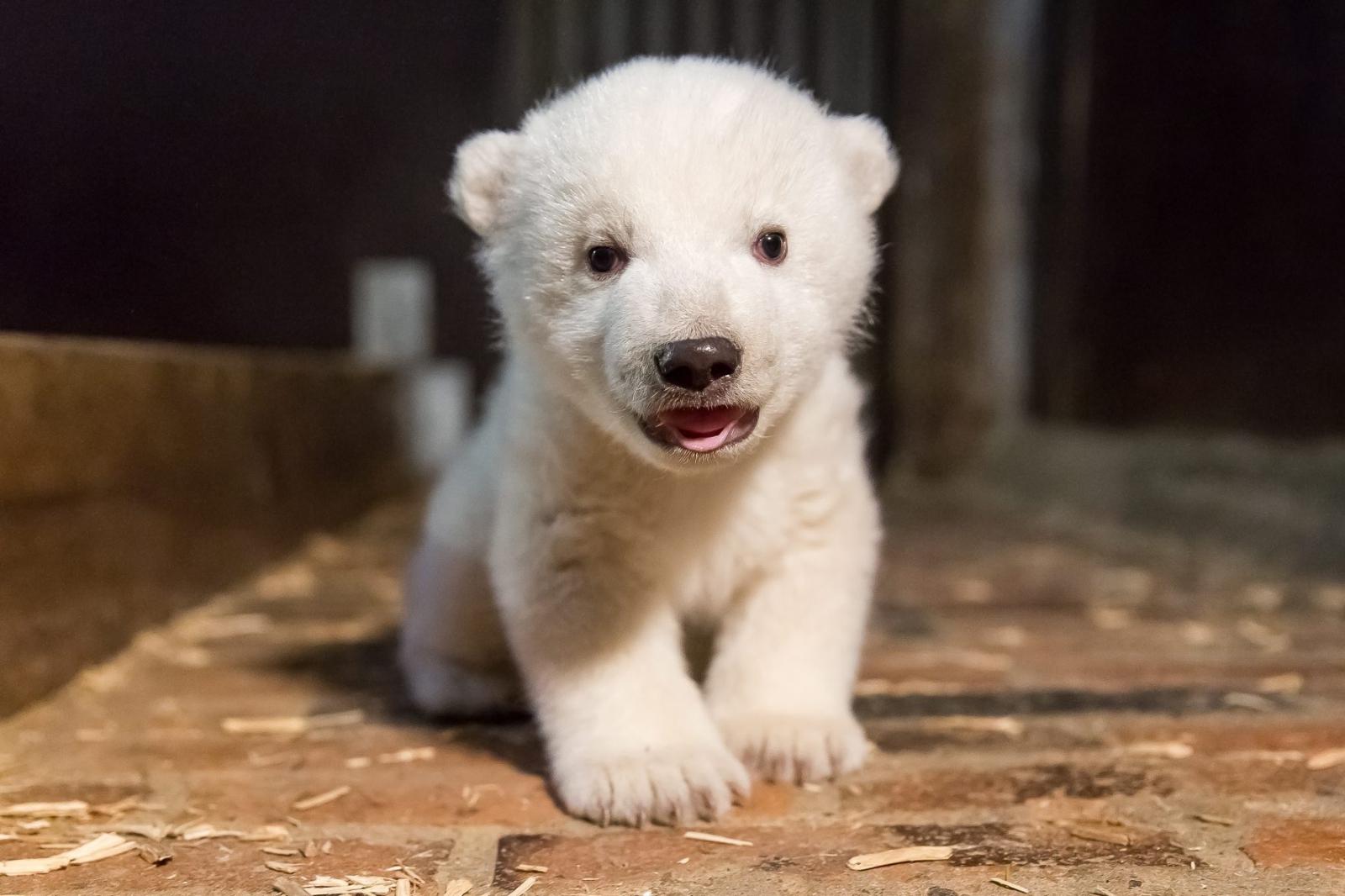 Nowo narodzony niedźwiedź polarny w berlińskim ZOO.  Fot. PAP/EPA/TIERPARK BERLIN HANDOUT