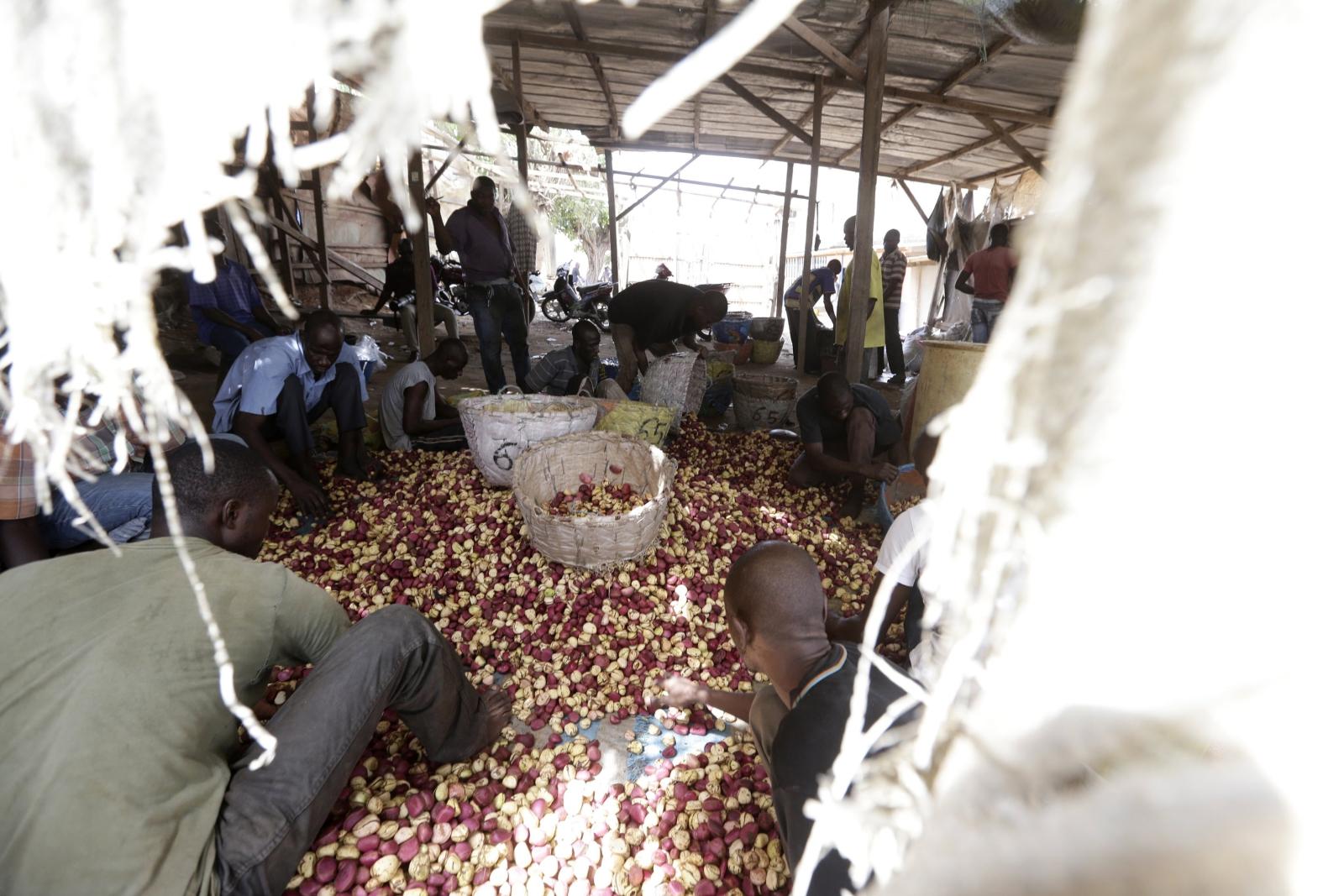 Robotnicy sortują orzechy Koli, Wybrzeże Kości Słoniowej.