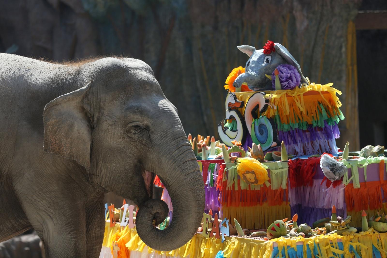 Słoń Trompita na tle tortu z okazji jego 56 urodzin. La Auroza Zoo, Guatemala.