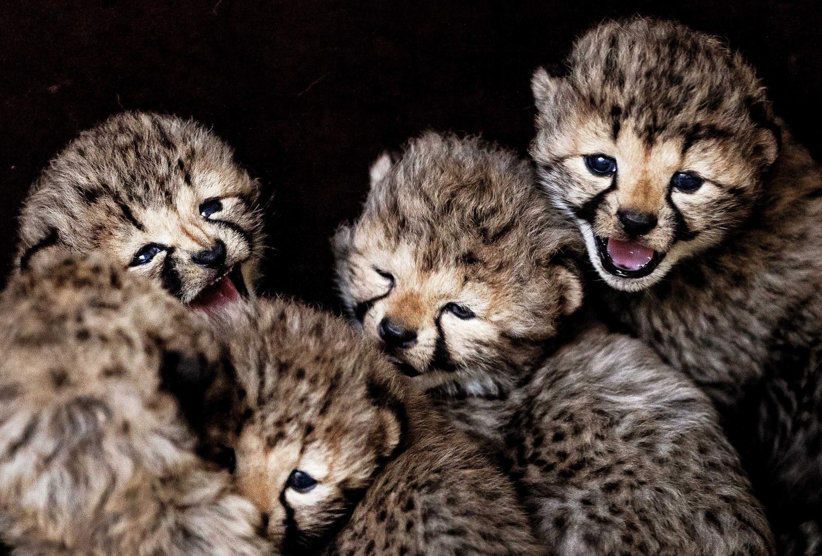 Pięć małych gepardów urodzonych 1 lutego w Parku Safari w Hilvarenbeek, Holandia.