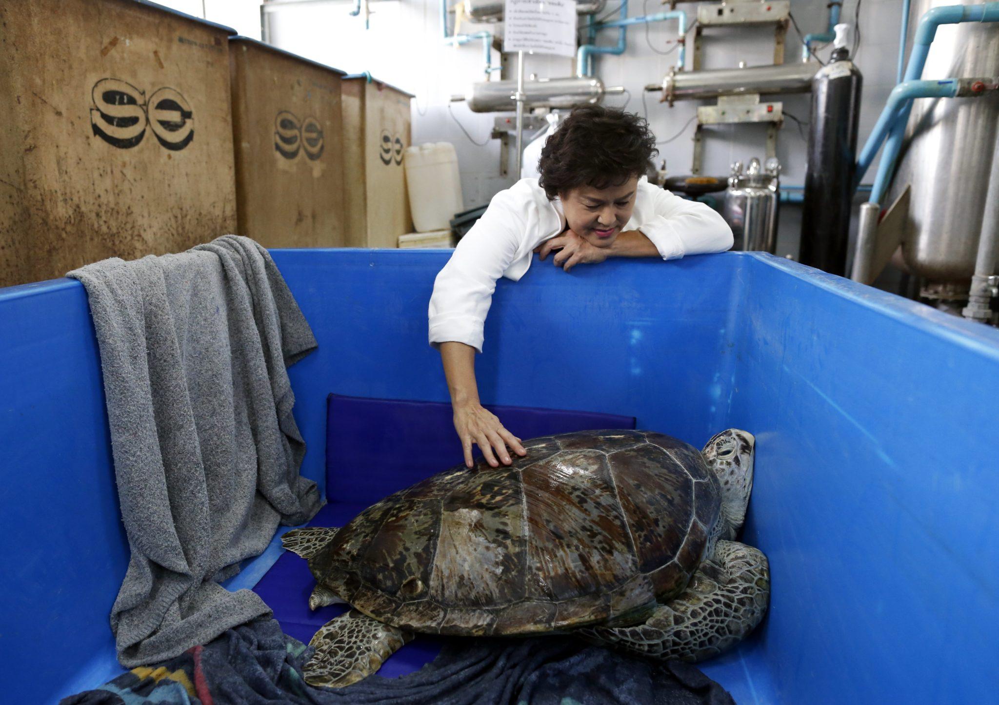 Tajlandia: żółw morski, którego masa przekracza 900 kg. (foto. PAP/EPA/CHRISTOPHER JUE )