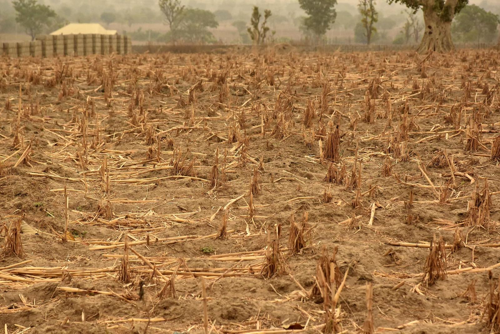 Pole pszenicy w Maiduguri, Nigeria. Ponad 1,8 miliona Nigeryjczyków mierzy się obecnie z problemem braku żywności. Według szefa akcji humanitarnej ONZ Stephena O'Briena ponad 20 milionów ludzi w Jemenie, Somalii, Sudanie Południowym i Nigerii głoduje. To największy kryzys humanitarny w historii Organizacji Narodów Zjednoczonych.