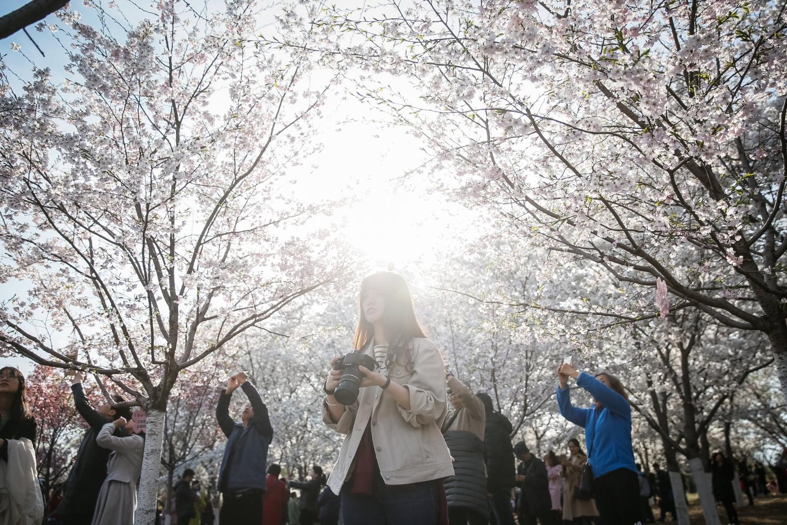 Chińczycy podziwiają kwitnące kwiaty wiśni w Yuyuantan Park w Pekinie, Chiny.