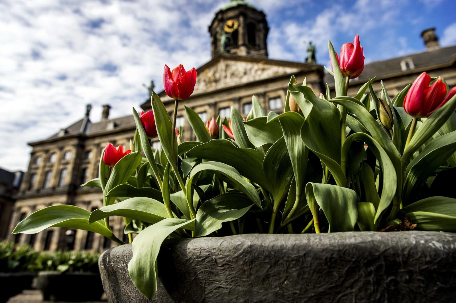 Oficjalne otwarcie Amsterdamskiego Festiwalu Tulipanów. Fot. PAP/EPA/Koen van Weel