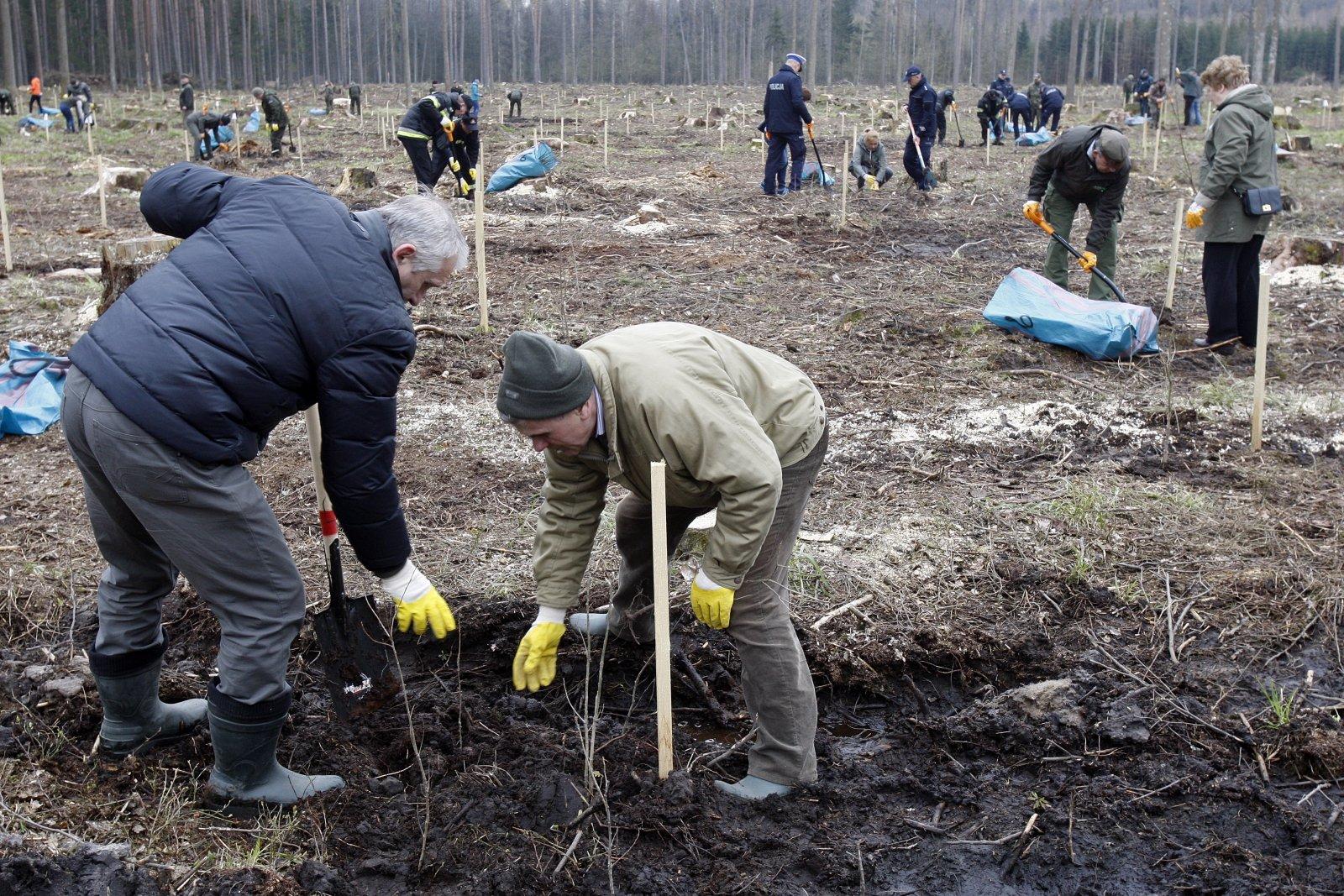 Akcja sadzenia drzew w Puszczy Białowieskiej