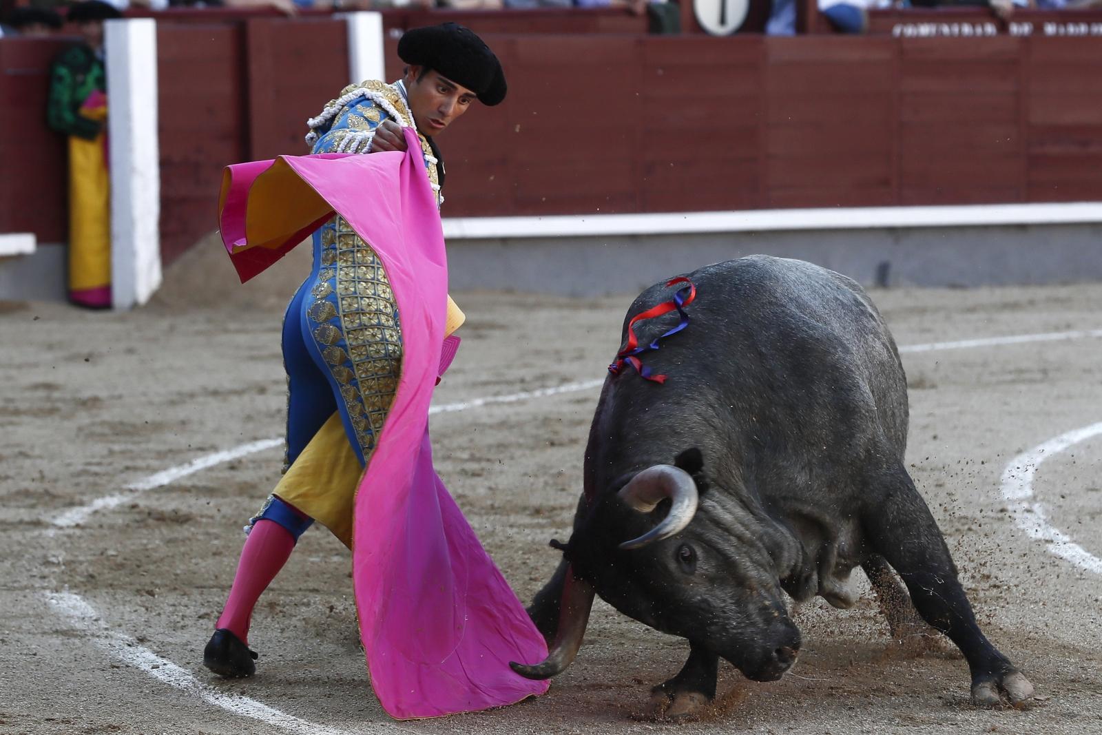 Hiszpański torreador walczy z bykiem, Madryt, Hiszpania.