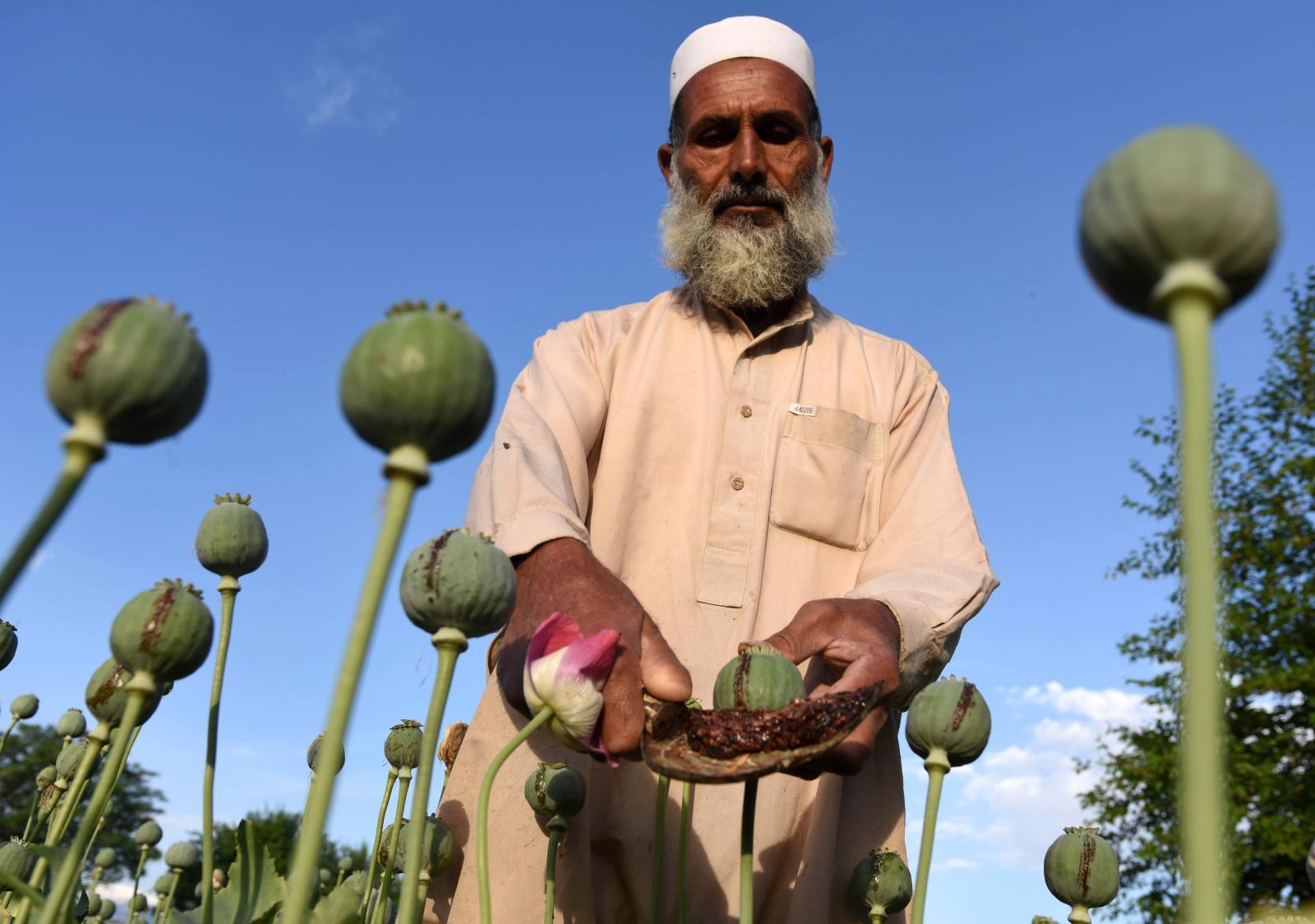Zbiór opium w Afganistanie. Fot. PAP/EPA/GHULAMULLAH HABIBI