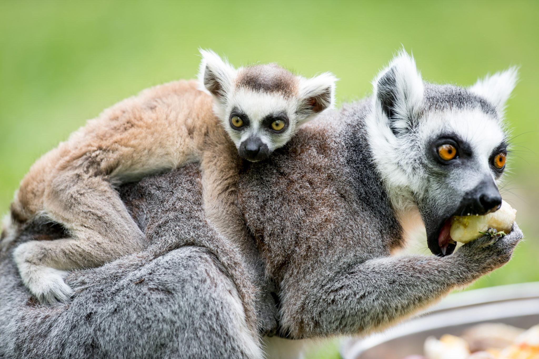 Polska: lemury we wrocławskim Zoo (foto. PAP/Maciej Kulczyński)