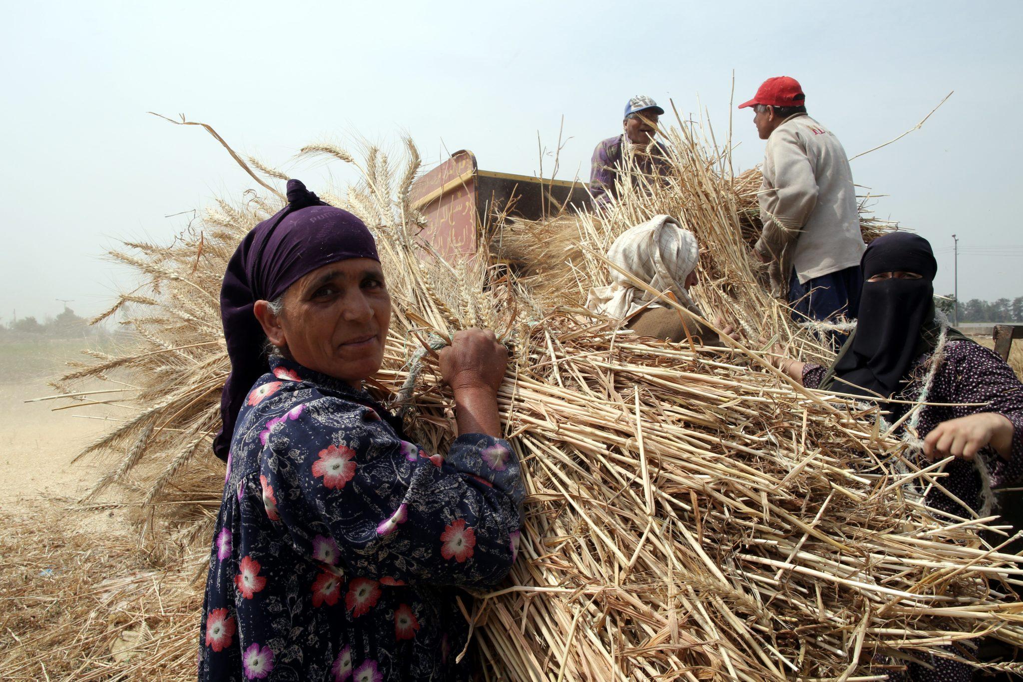 Egipt: prace rolnicze w okolicach Kairu (foto. PAP/EPA/KHALED ELFIQI)