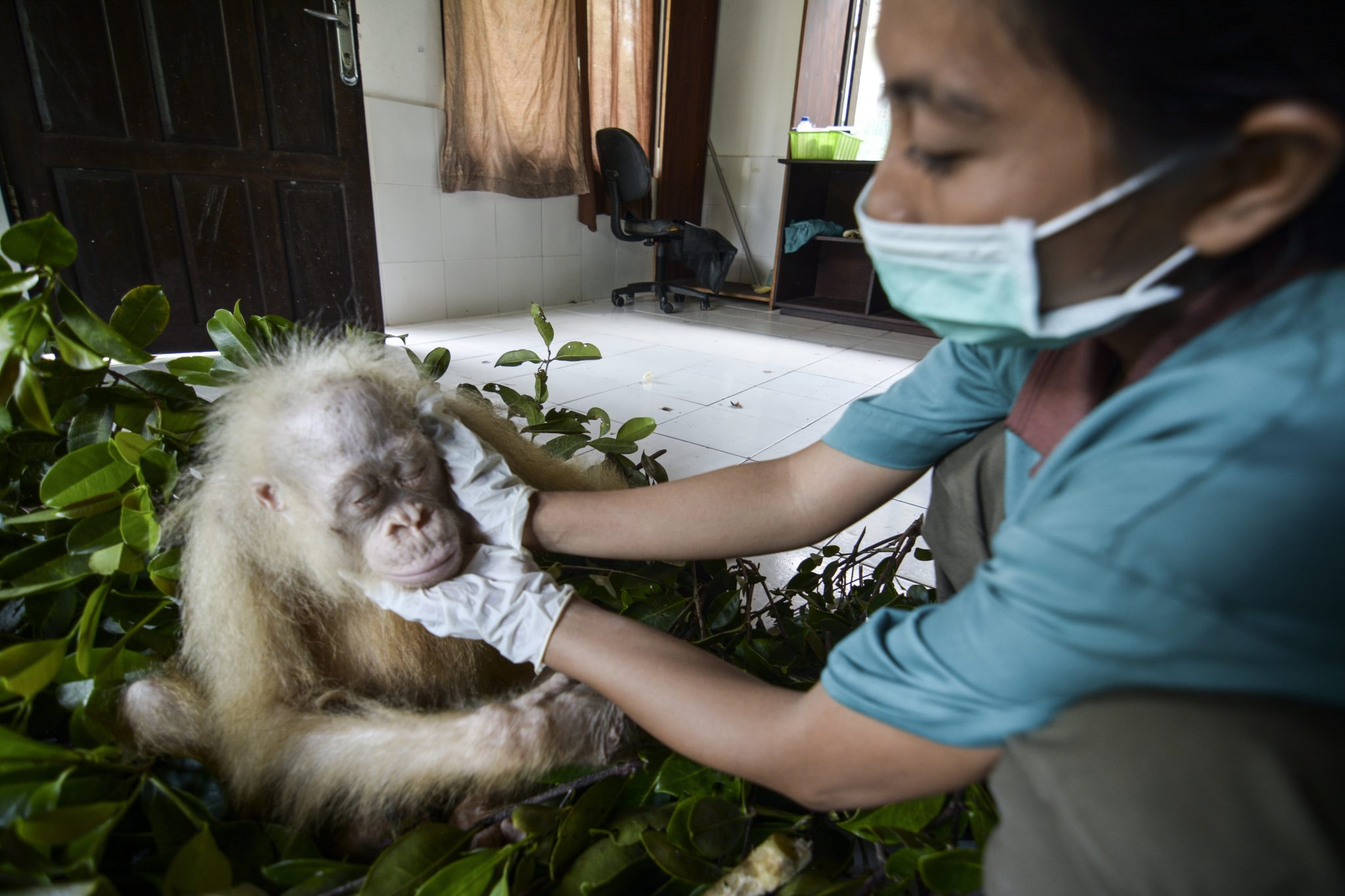Indonezja: orangutan albinos w zoo Nyaru (foto. PaP/EPA/INDRAYANA / BOSF)