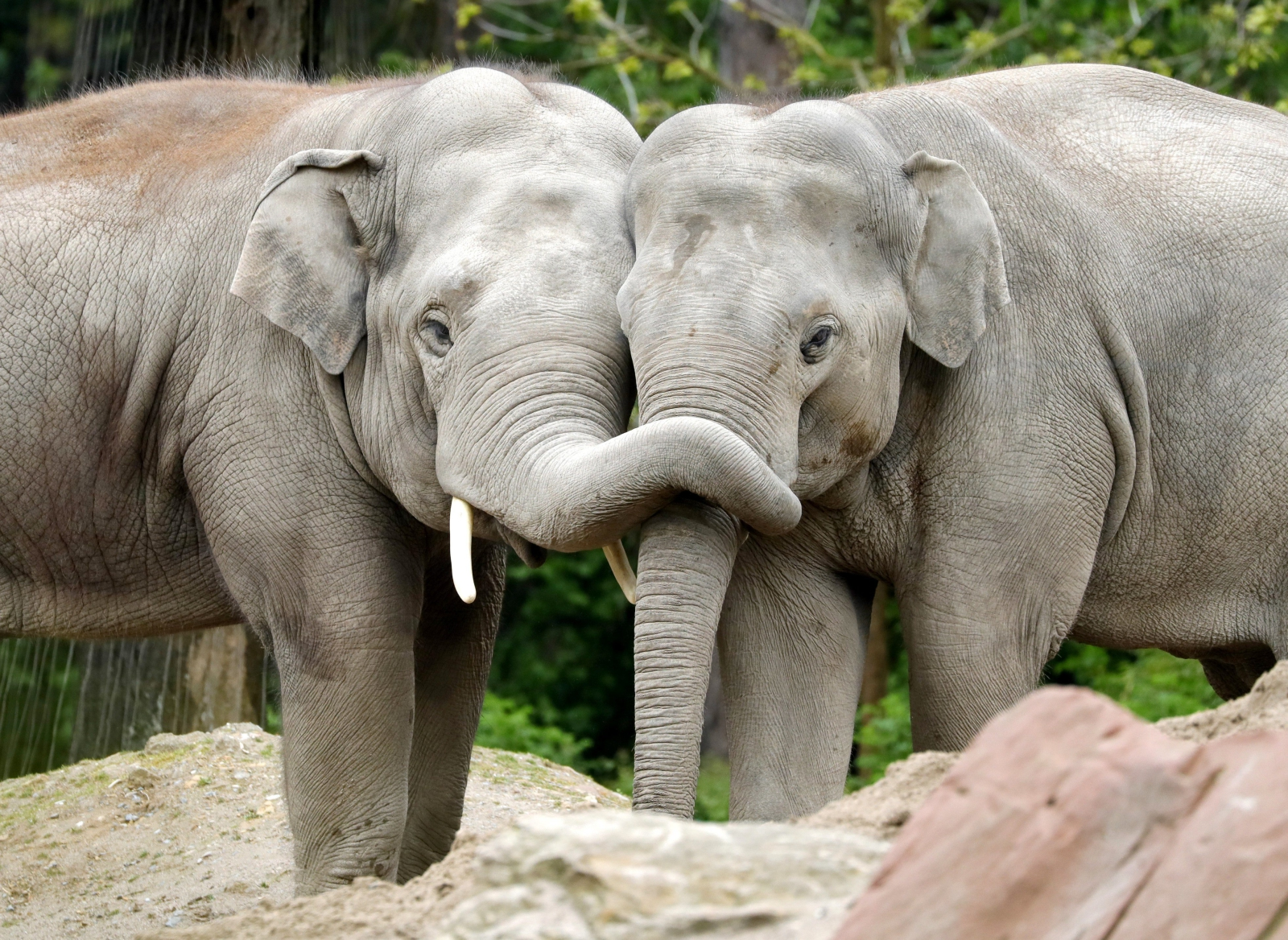 Dwa młode słonie grają ze sobą w Zoo w Heidelbergu w Niemczech. Słoń azjatycki (Elephas maximus) jest drugim największym zwierzęciem lądowymi na planecie. Fot. PAP/EPA/RONALD WITTEK