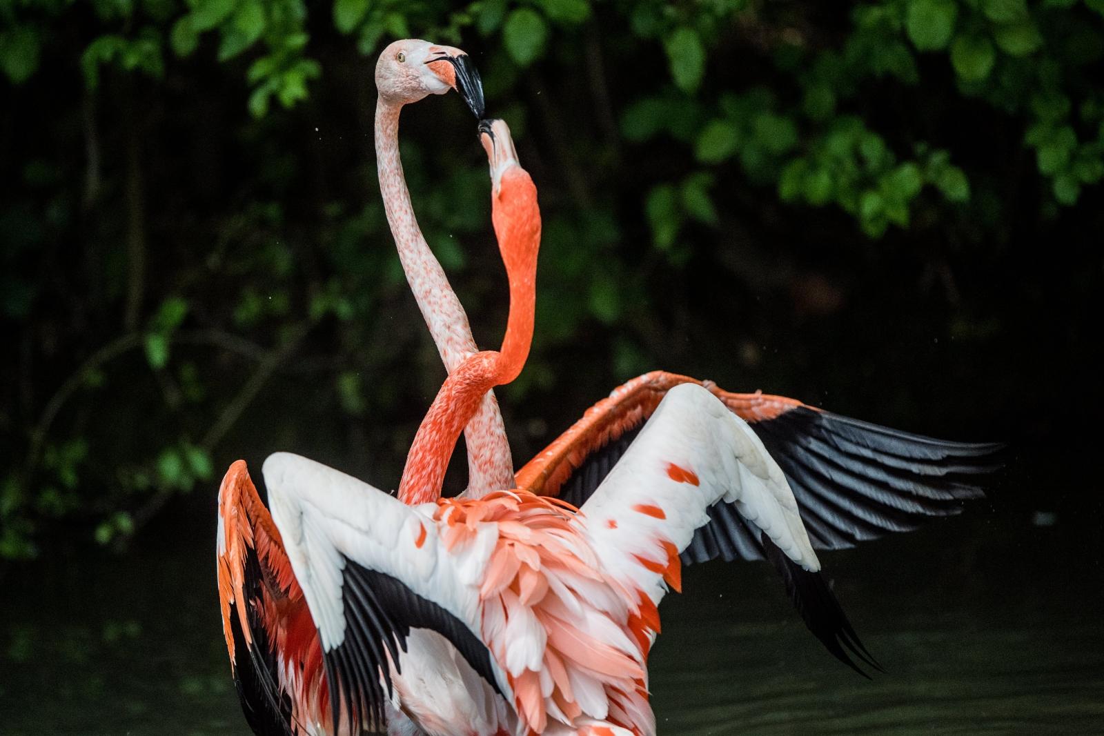 Dwa flamingi widziane w monachijskim zoo Hellabrunn Tierpark, Niemcy.