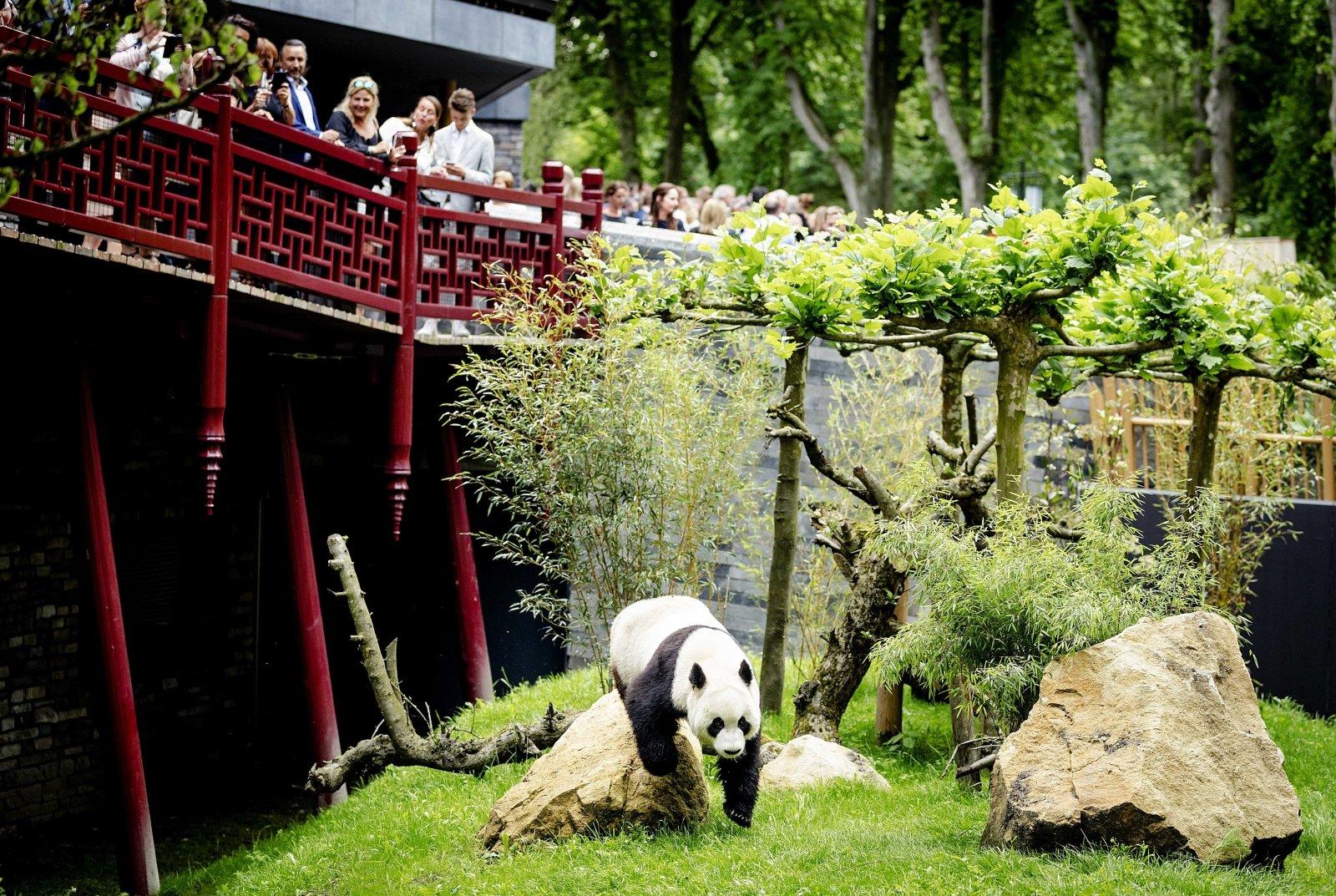 Panda Wielka Wu Wen w holenderskim zoo w Rhenen.
