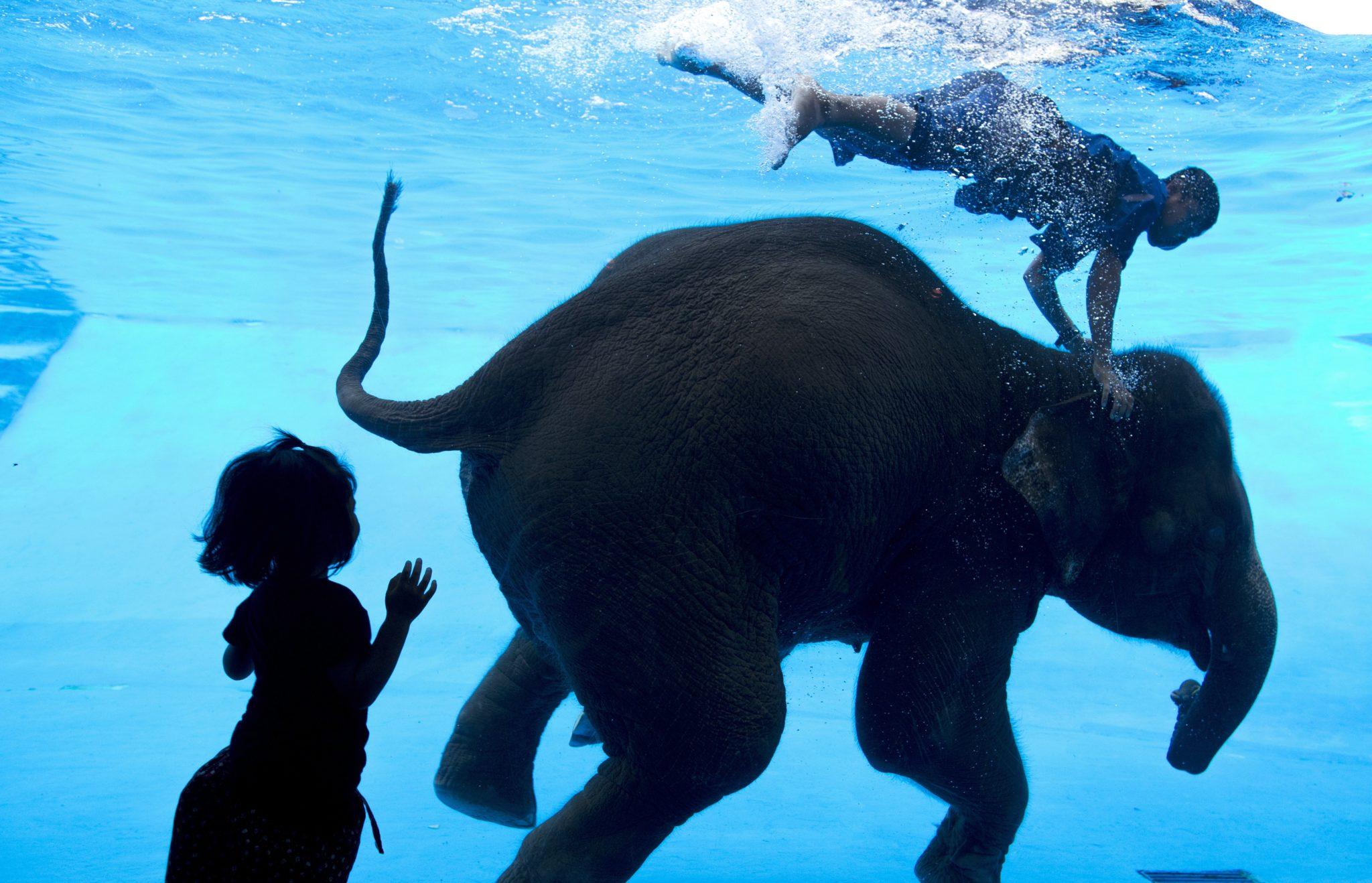 Nurkowanie ze słoniami w Tajlandii.