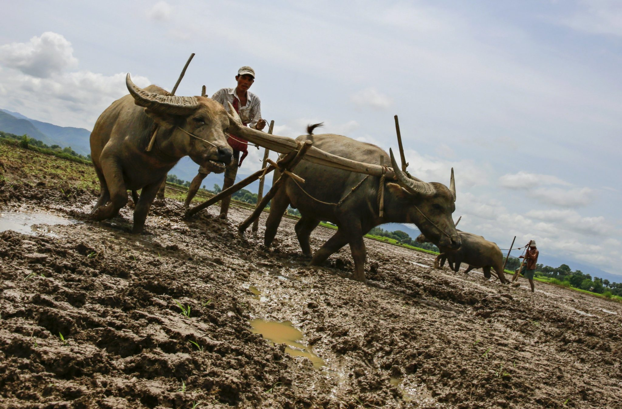 Prace rolnicze w Mjanmie, dawnej Birmie