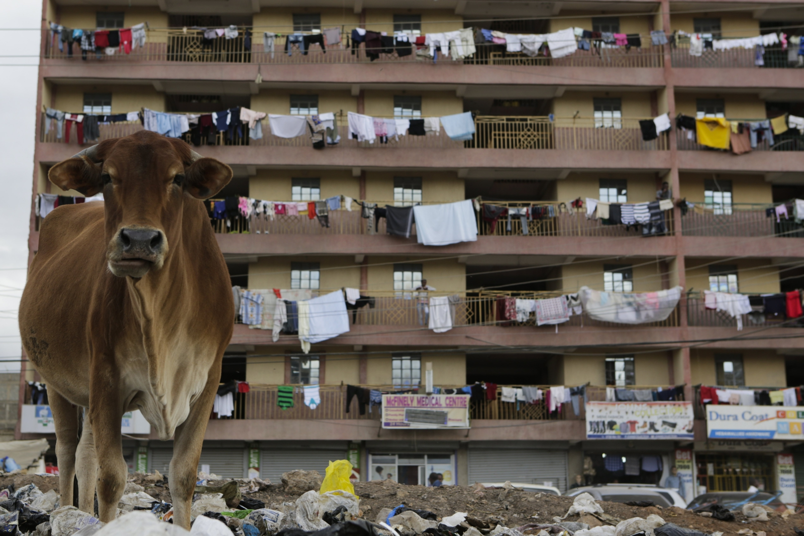 Krowa grzebie w śmieciach w poszukiwaniu jedzenia, Nairobi, Kenia.