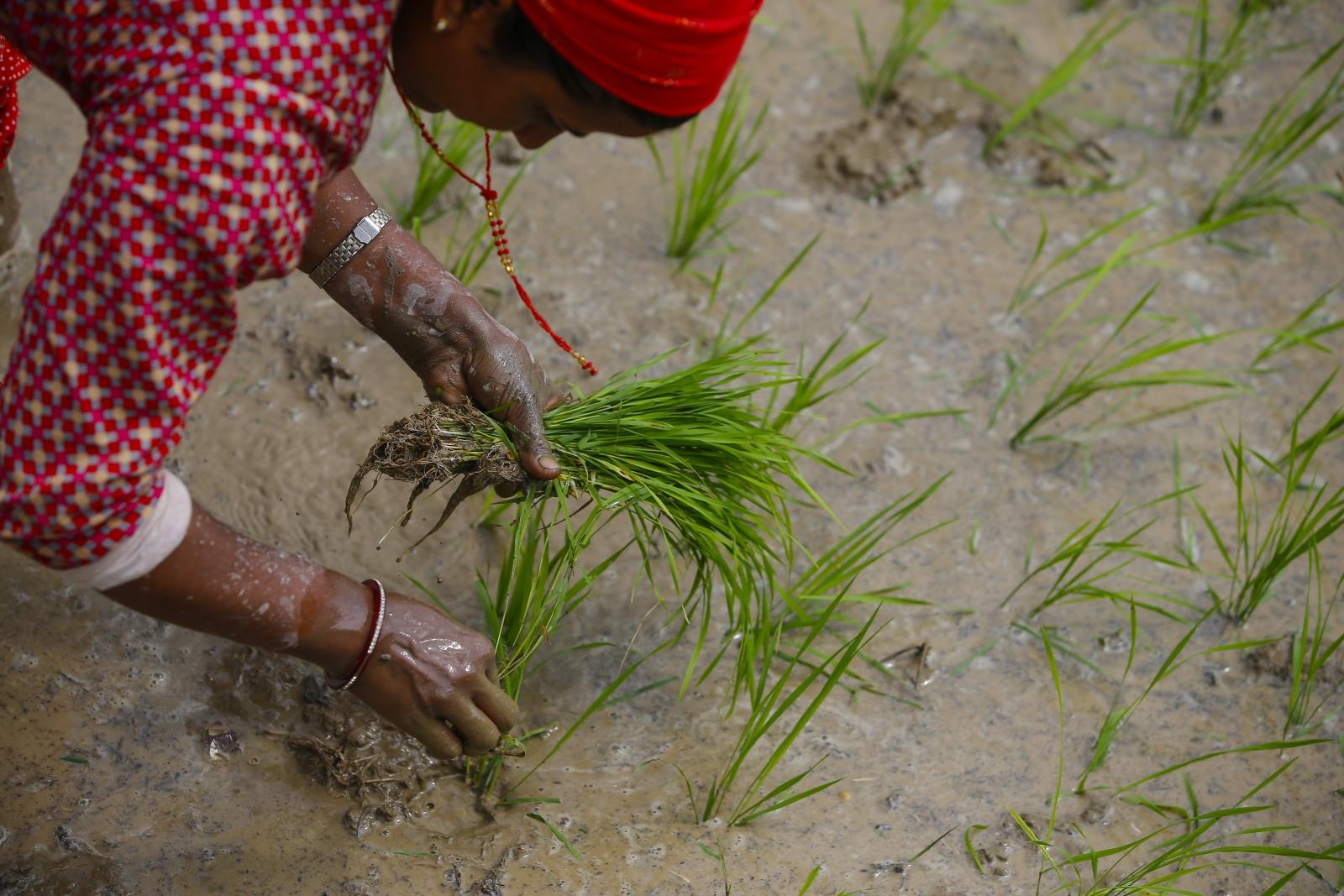 Narodowy Dzień Ryżu w Nepalu