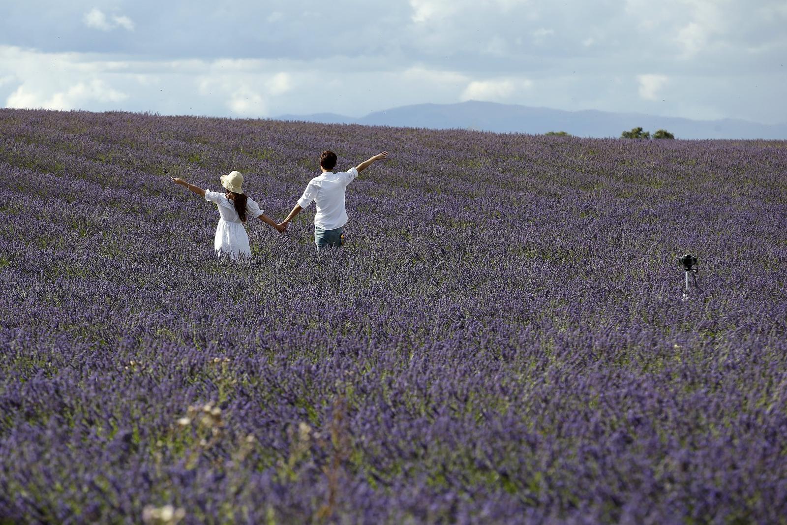 Turyście przechadzają się po polach lawendy w Valensole, Francja.