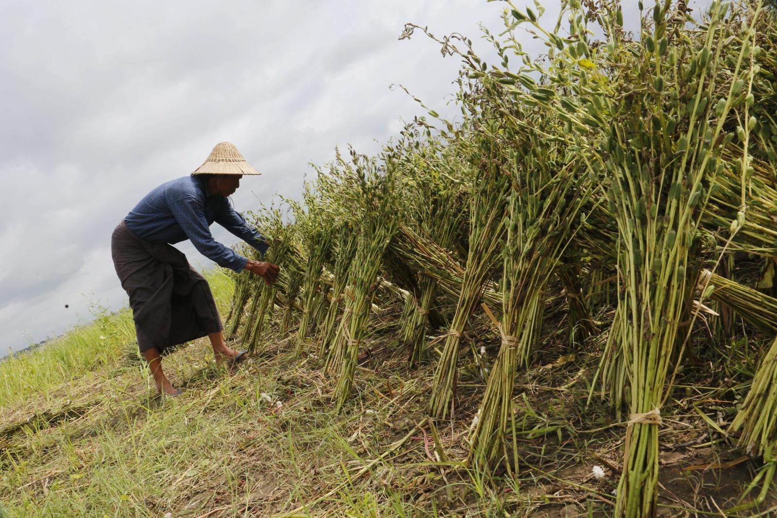 Zbieranie sezamu w Birmie.  Fot.  EPA/HEIN HTET Dostawca: PAP/EPA.