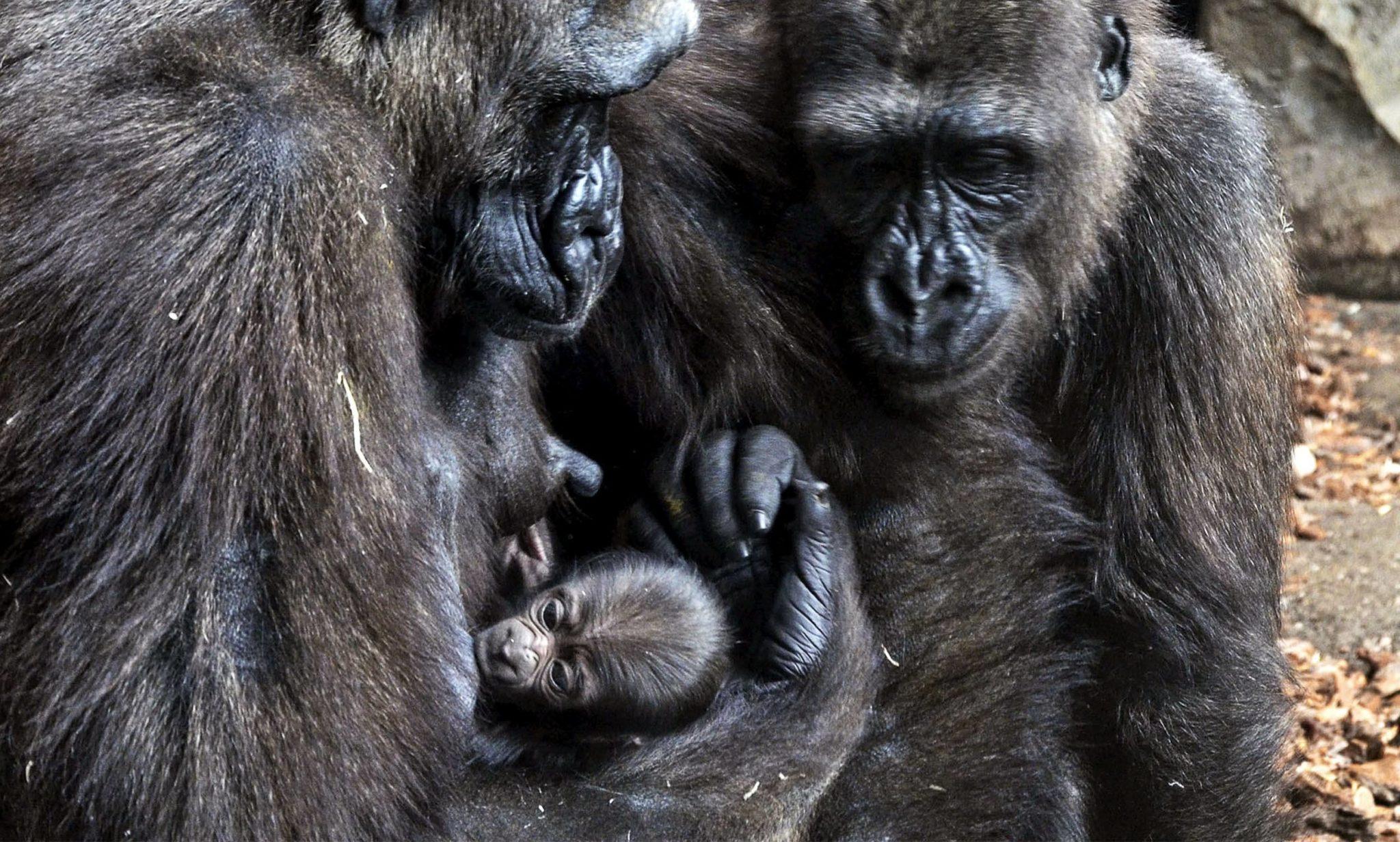Narodziny małej gorylicy, BioPark w Walencji w Hiszpanii, 4dniowe dziecko jest trzecim w tym roku w tym ogrodzie zoologicznym, fot: PAP/EPA