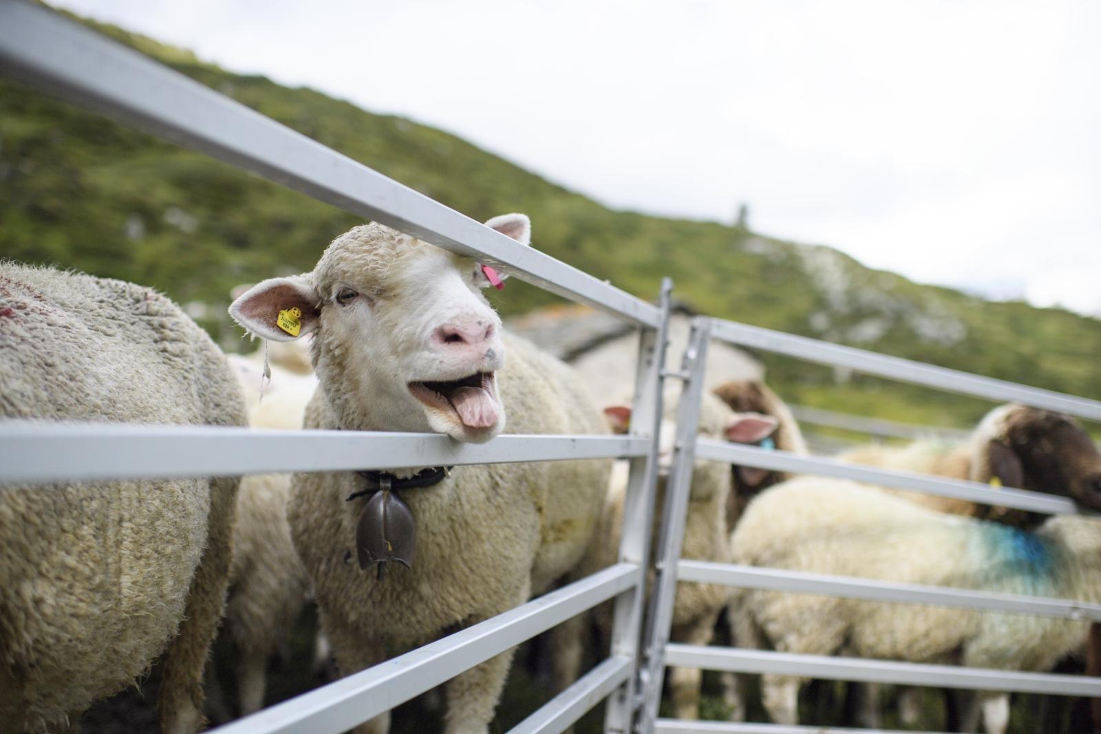 Owce na terenie Szwajcarii, podczas wymiany pastwisk