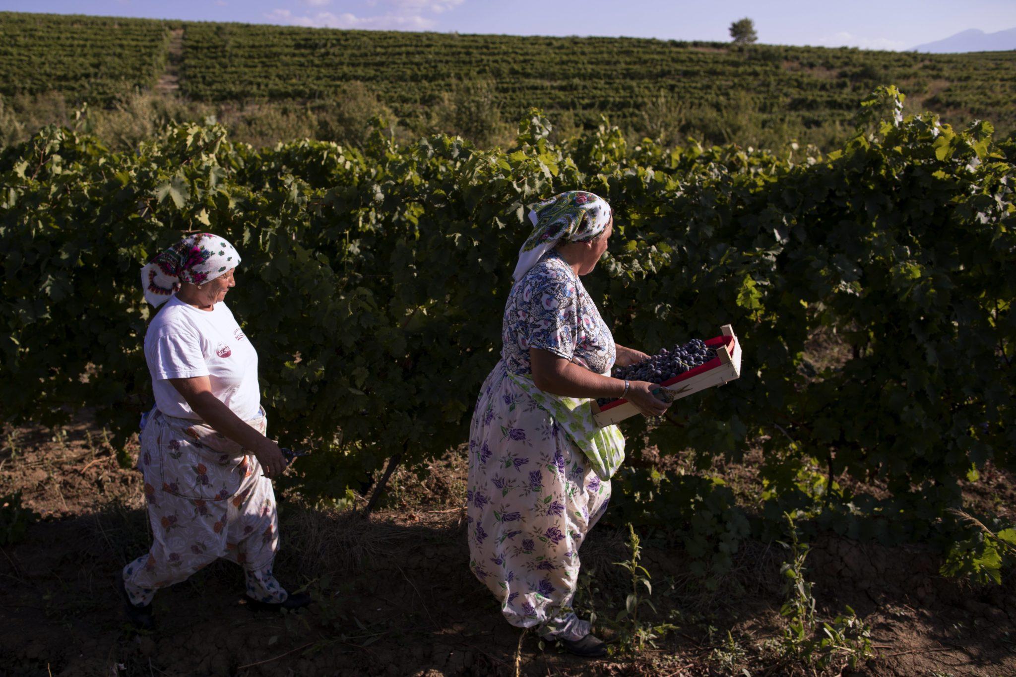 Pracownicy winnicy zbierają winogrona, niedaleko miasta Rahovec w Kosowie, fot: Valdrin Xhemaj, PAP/EPA