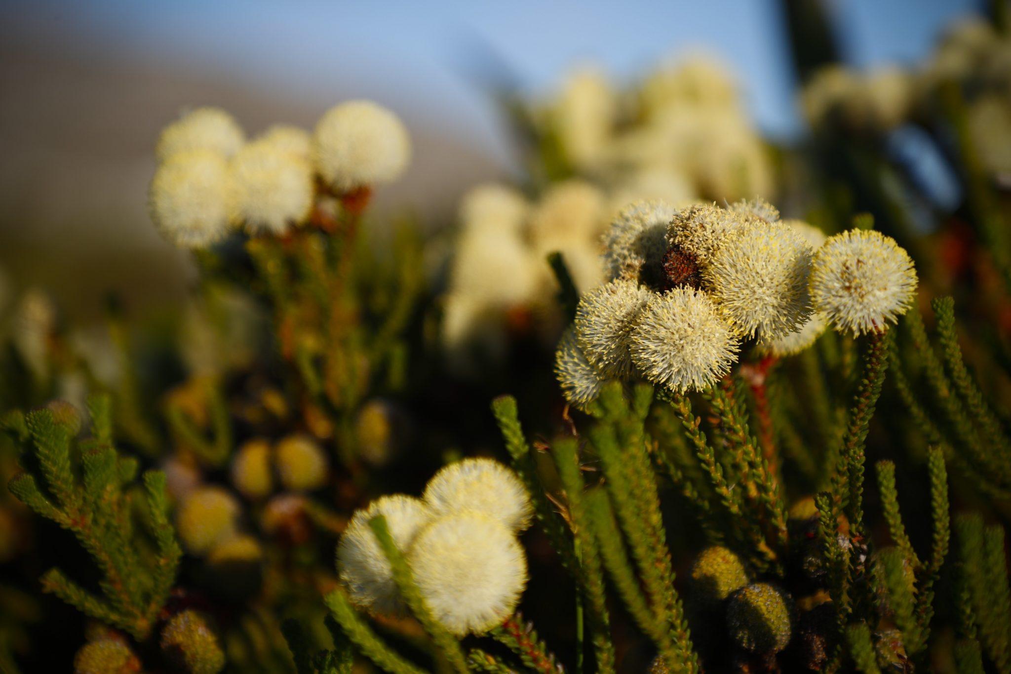 Kwiaty w Parku Narodowym w Kapsztadzie, RPA, fot: Nic Bothma, PAP /EPA