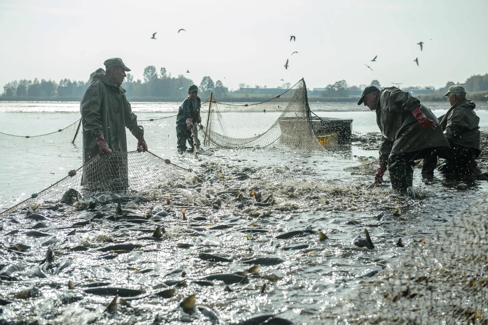 Jesienne odłowy ryb w stawach hodowlanych w Siemieniu, 18 bm. Odłowiona, posegregowana ryba trafi do magazynów, a w grudniu na świąteczne stoły.