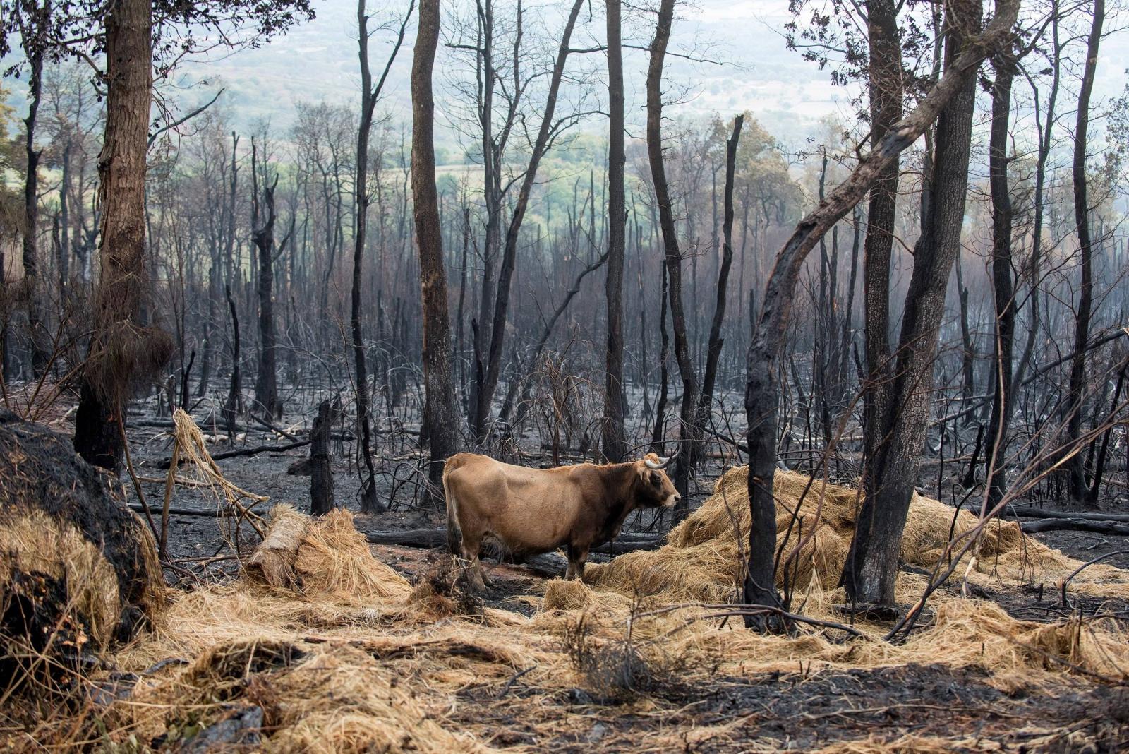 Krowa idzie przez spalony las, Maceda, Hiszpania.