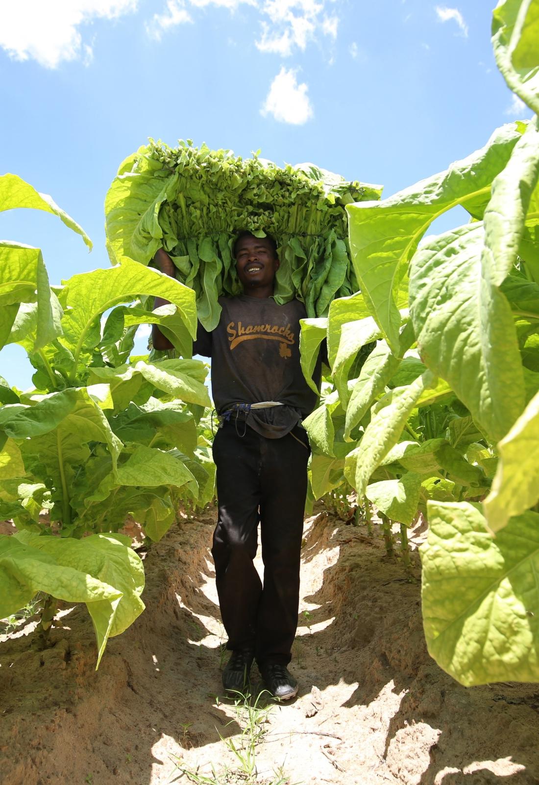 Plantacje tytoniu w Zimbabwe. fot. EPA/AARON UFUMELI