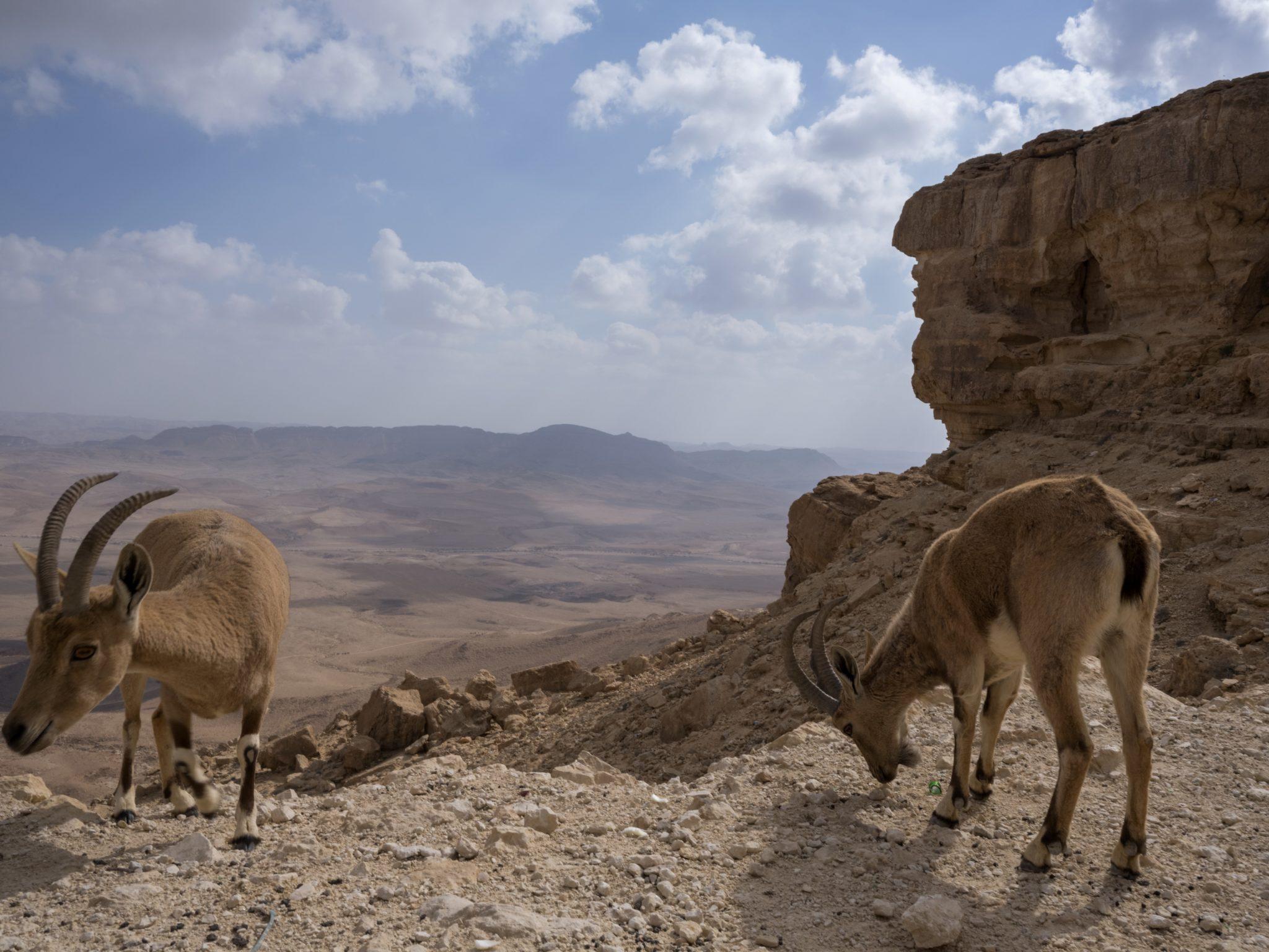 Izrael: koziorożec (Capra nubiana) żeruje nad kraterem Mitzpe Ramon na pustyni Negew, fot: Jim Hollander, PAP/EPA