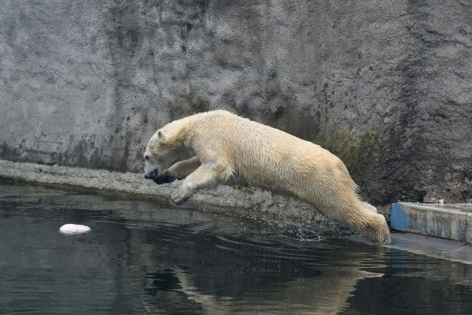 epa06492040 A polar bear jumps into a pond to catch an icy doughnut made of fish, vegetables and fruits it received on the occasion of the Carnival of Animals in the Budapest Zoo in Budapest, Hungary, 02 February 2018. The three-day carnival consists of various programs for children and families in the zoo.  EPA/Noemi Bruzak HUNGARY OUT Dostawca: PAP/EPA.