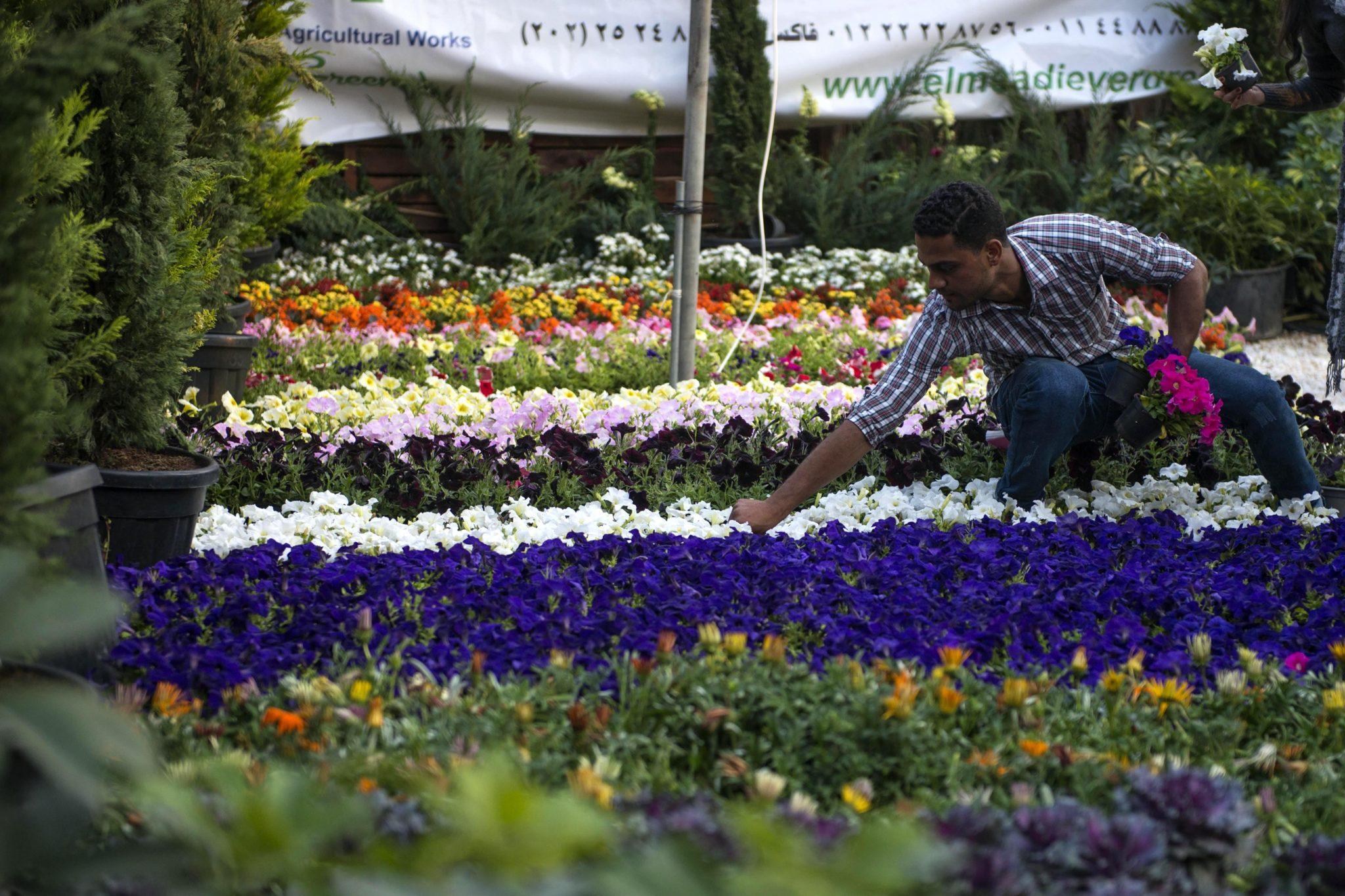 Egipt: sprzedawcy przygotowują kwiaty i wystawy podczas festiwalu wiosennych kwiatów w ogrodzie al-Orman w Gizie. Co roku w ogrodzie al-Orman odbywa się festiwal wiosennych kwiatów od początku marca do połowy kwietnia, fot: Mohamed Hossam, PAP/EPA