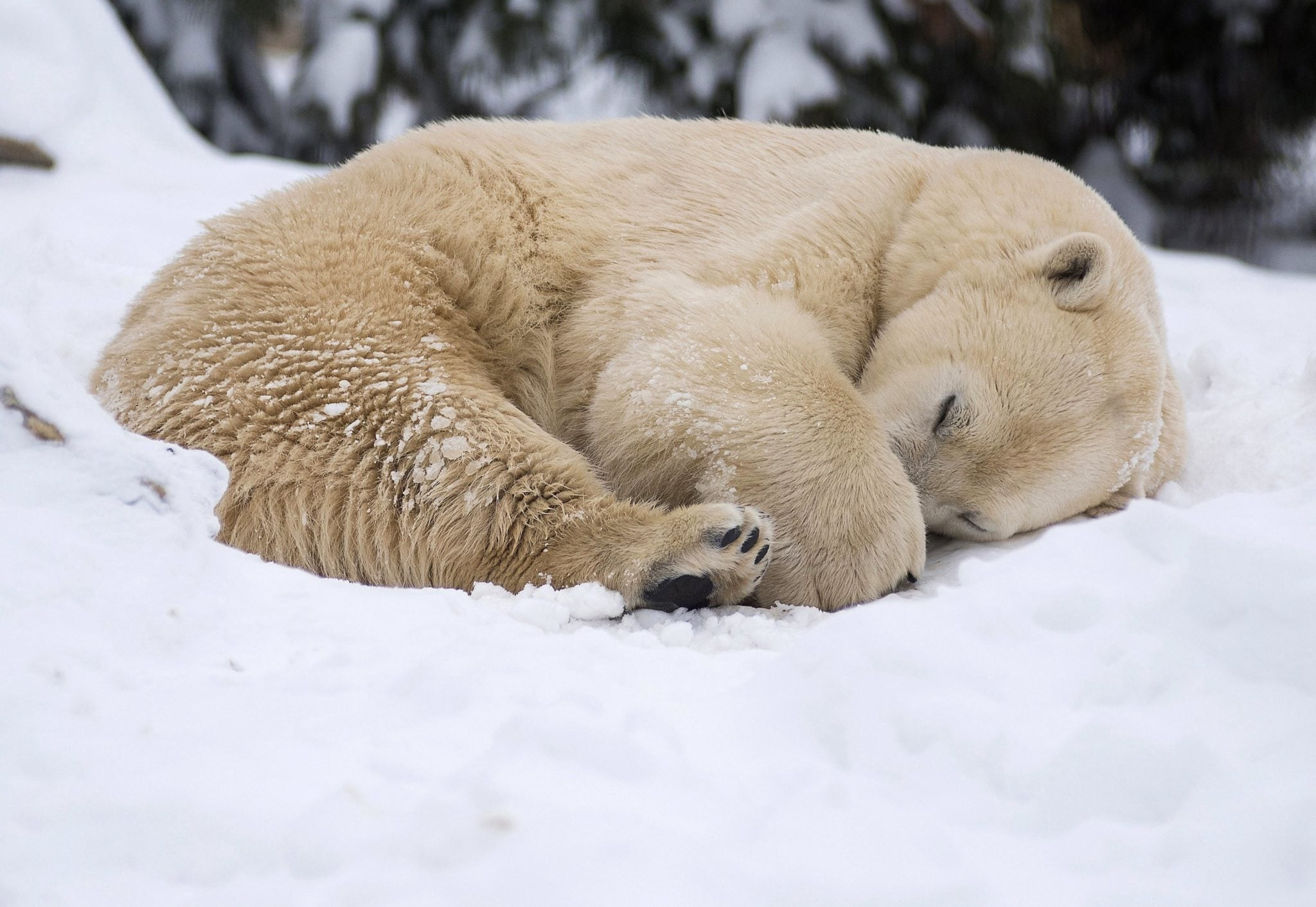 Węgry: polarny niedźwiedź w Zoo w Budapeszcie, fot: Attila Balazs, PAP/EPA