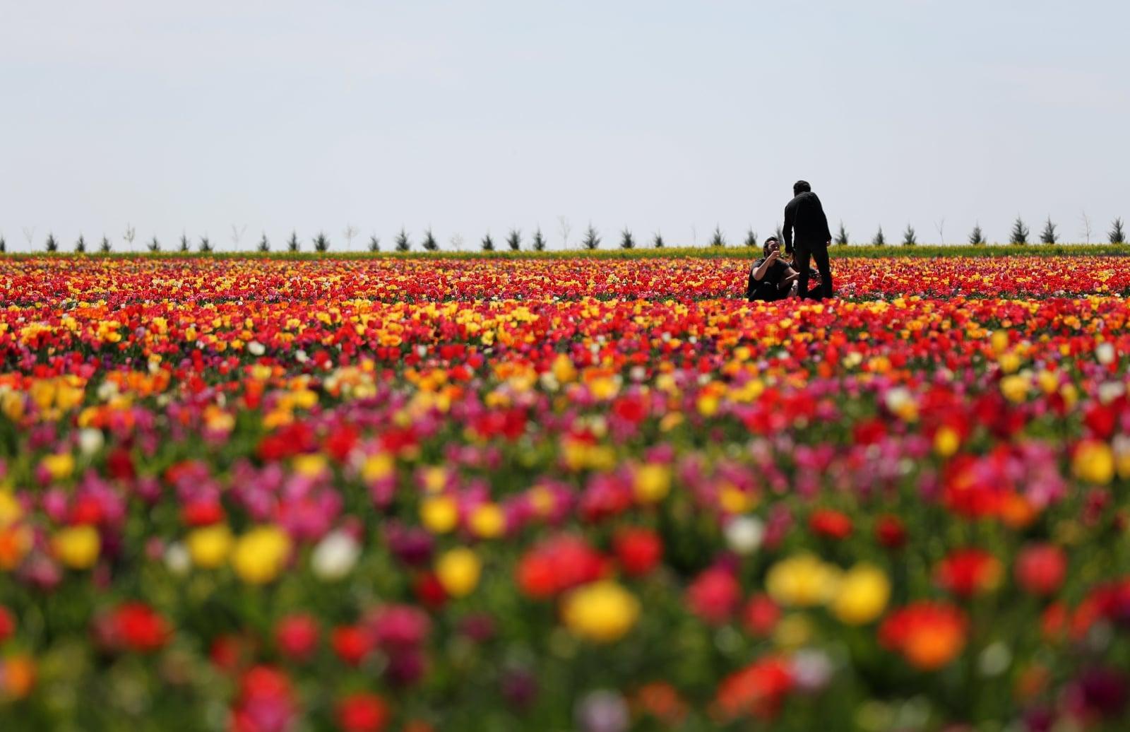 Pola tulipanów w Turcji  EPA/TOLGA BOZOGLU