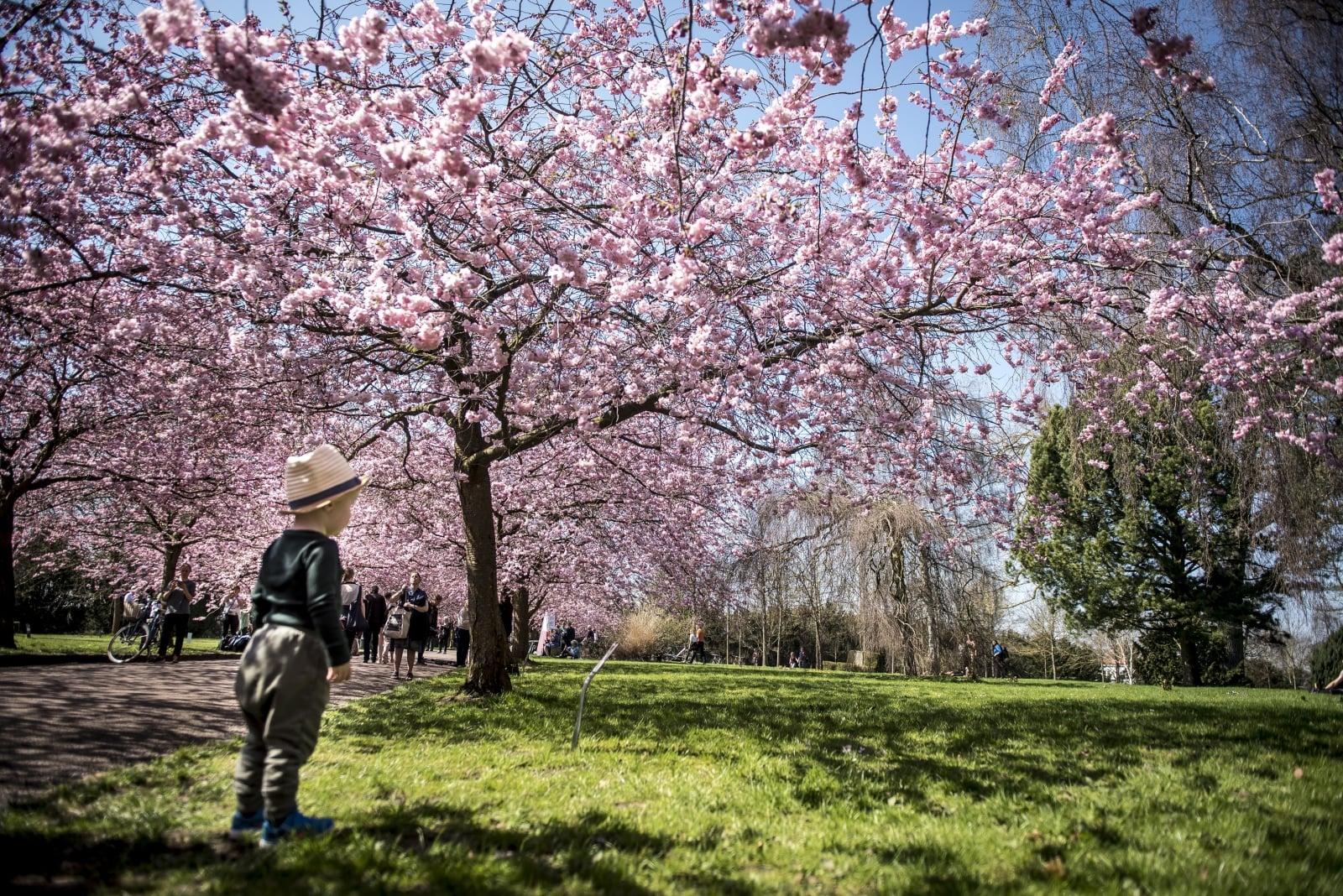 Kwitnące drzewa wiśni w Kopenhadze, Dania.