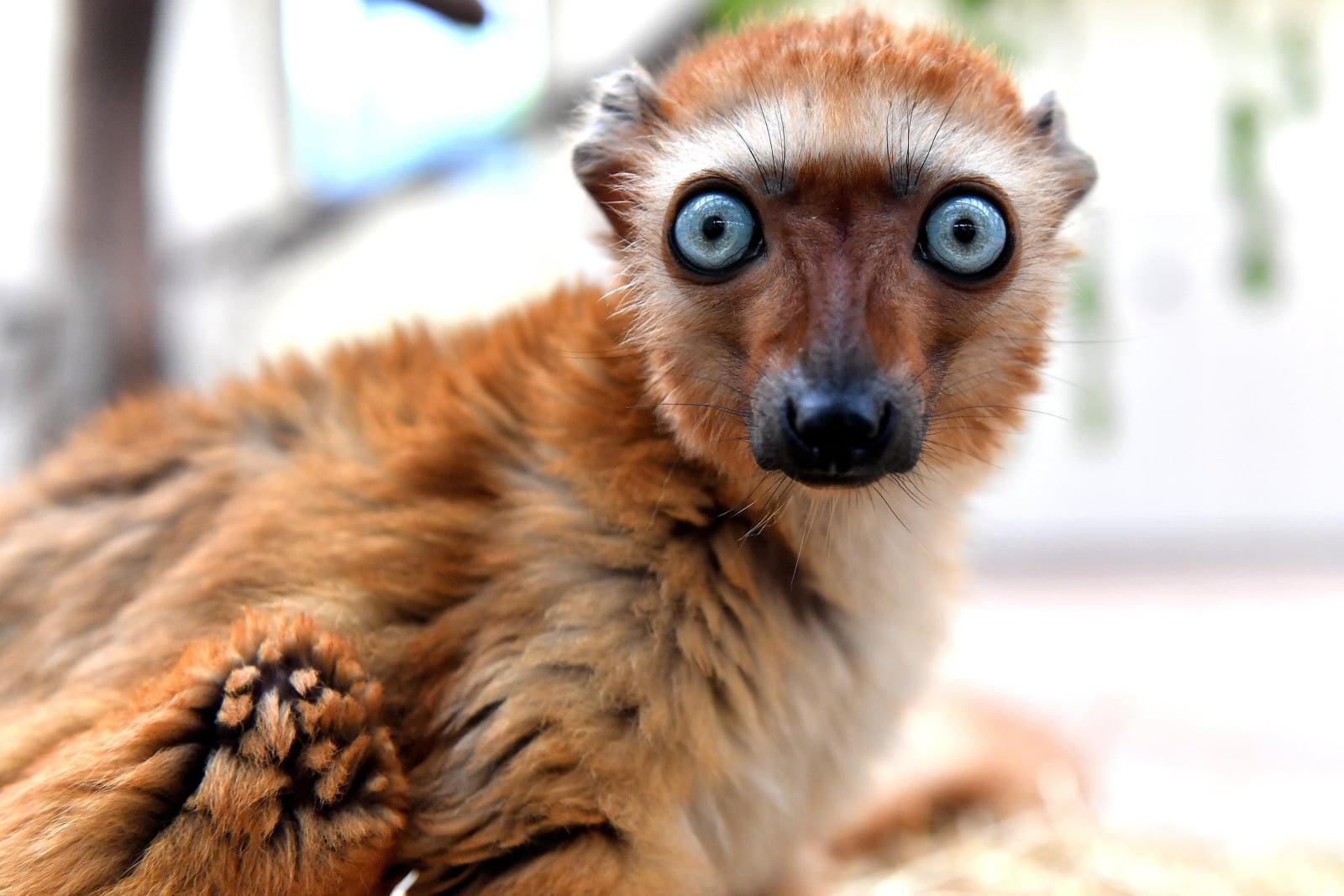 Lemur (ZOO w Kolonii) fot. EPA/SASCHA STEINBACH