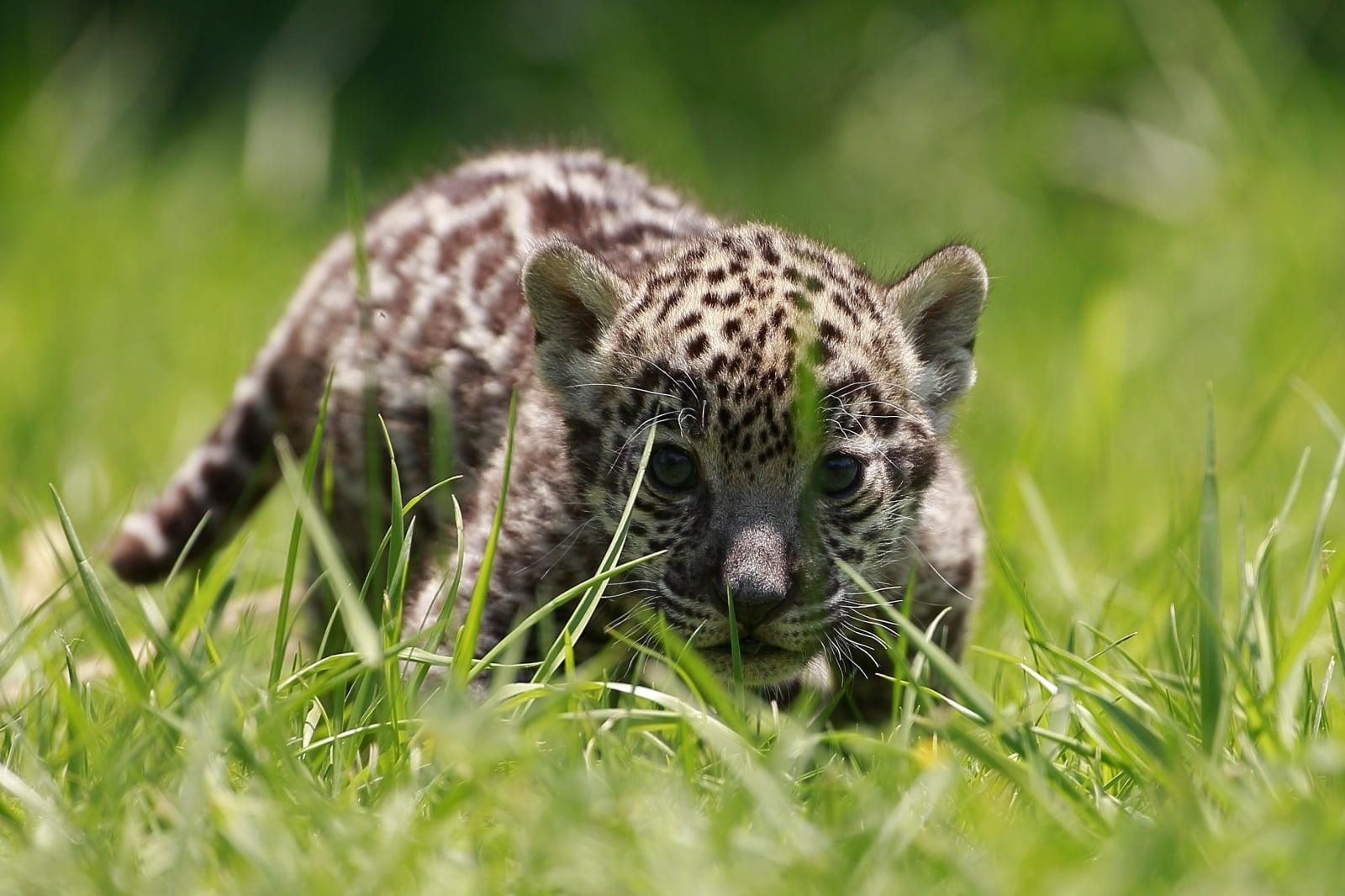 Jaguary w Meksyku fot. EPA/JOSE MENDEZ
