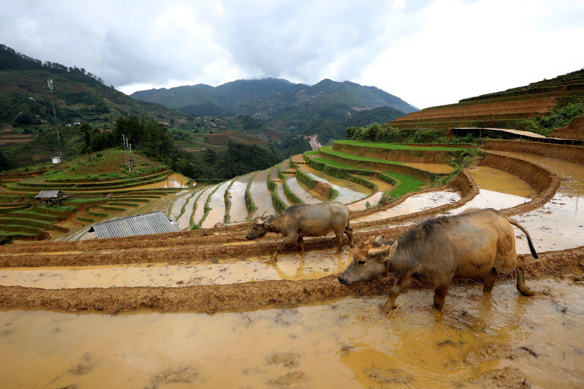 Wietnam: bawoły wodne chodzą po polu ryżowym w gminie La Pan Tan, prowincja Yen Bai, fot: Luong Thai Linh, PAP/EPA