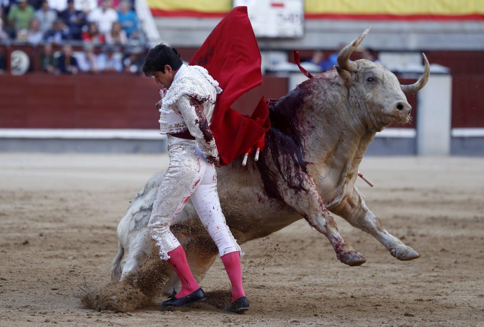 Walka z bykami fot. EPA/Javier Lizon
