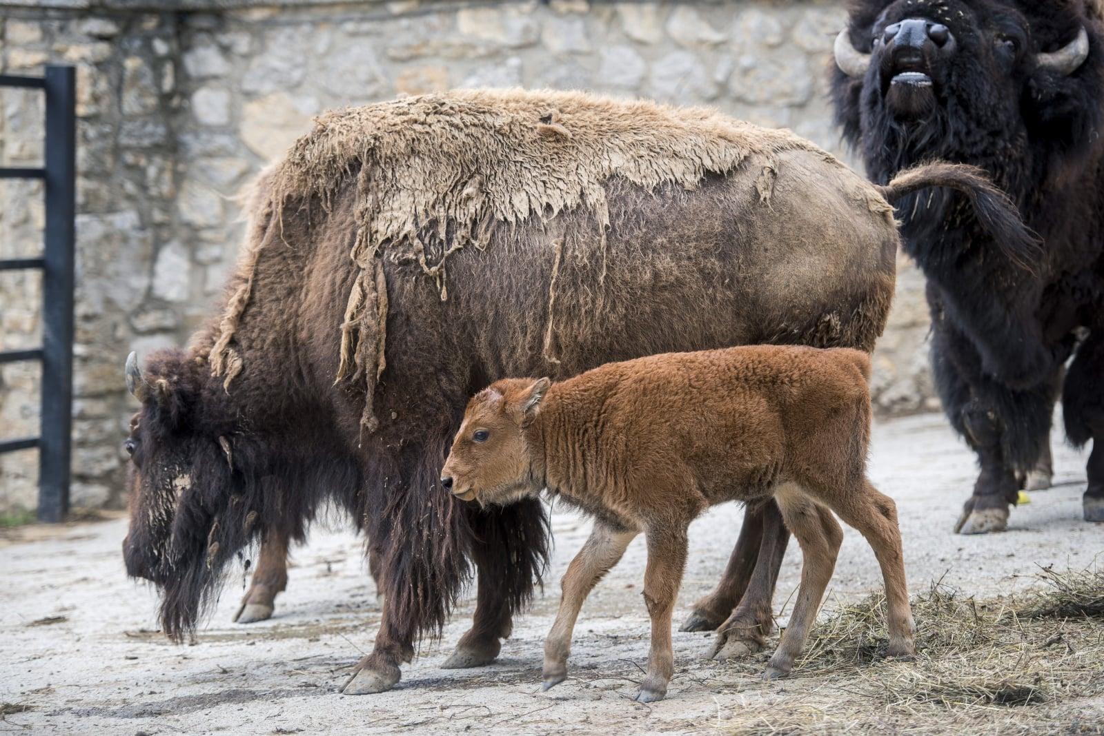 Dwutygodniowy bizon Bora obok swojej matki w zoo w Peczu, w Pecs, Węgry, fot. EPA/Tamas Soki HUNGARY OUT