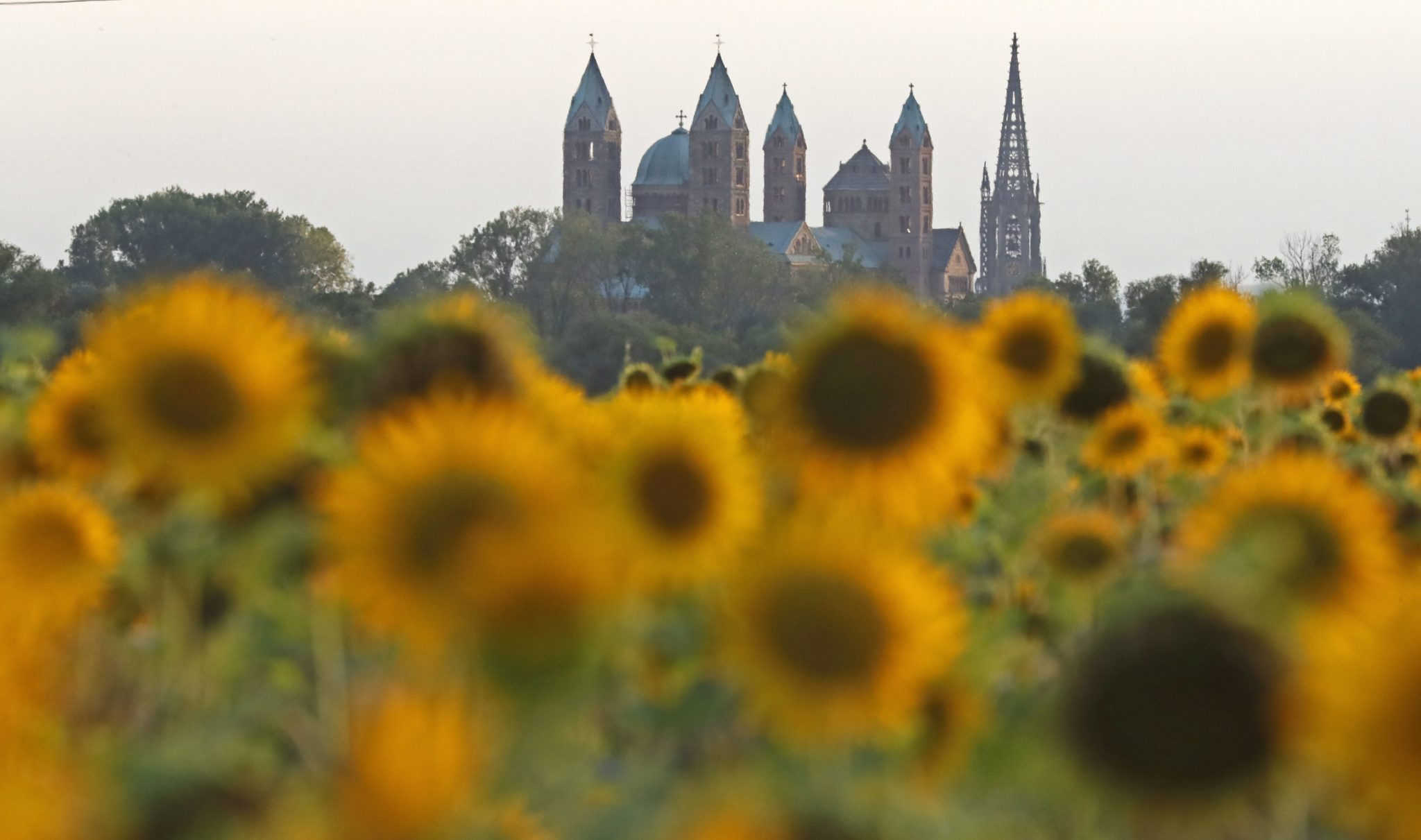 Niemcy, słoneczniki na polu przed katedrą w Spirze. Bazylika katedralna Wniebowzięcia Najświętszej Marii Panny i Św. Szczepana w Spirze (w Nadrenii-Palatynacie) to kościół katedralny z XI/XII wieku, fot. Ronald Wittek, PAP/EPA