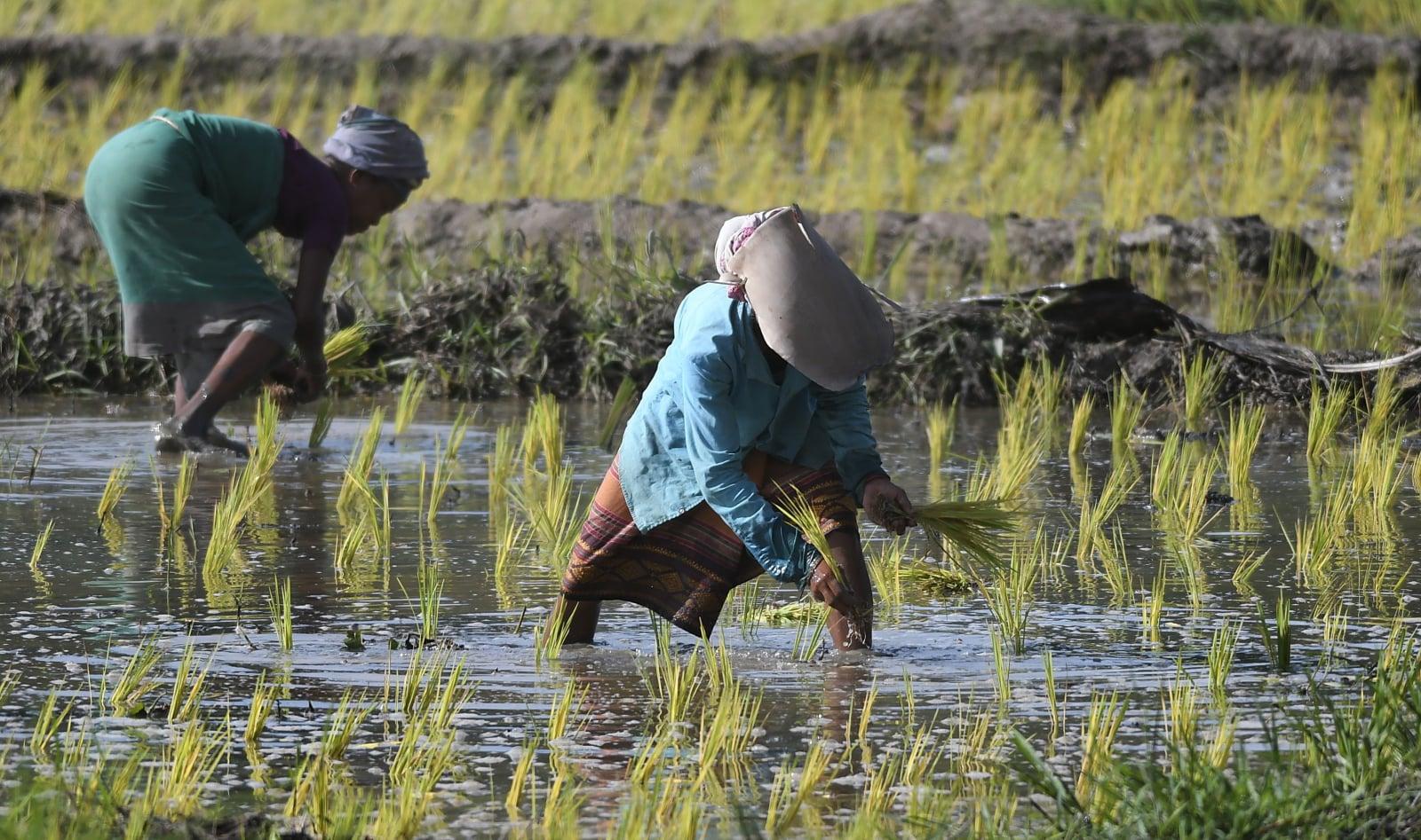 Uprawa ryżu na obrzeżach miasta Guwahati w Indiach, fot EPA/STR